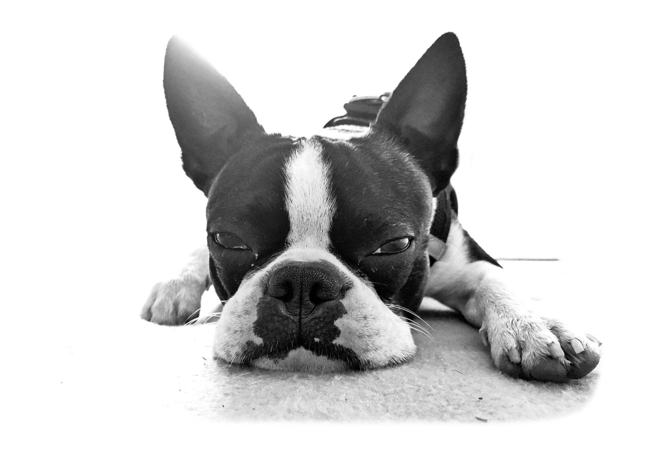 Bild mit Tiere, Weiß, Schwarz, Hunde, Tier, Hund, Dog, Lebewesen, Boston Terrier, Bosti, Boston Terriers, Rassehunden, Hunderasse Boston, Kleine doggenartige Hunde, Familienhund, Hundebild, Haushund