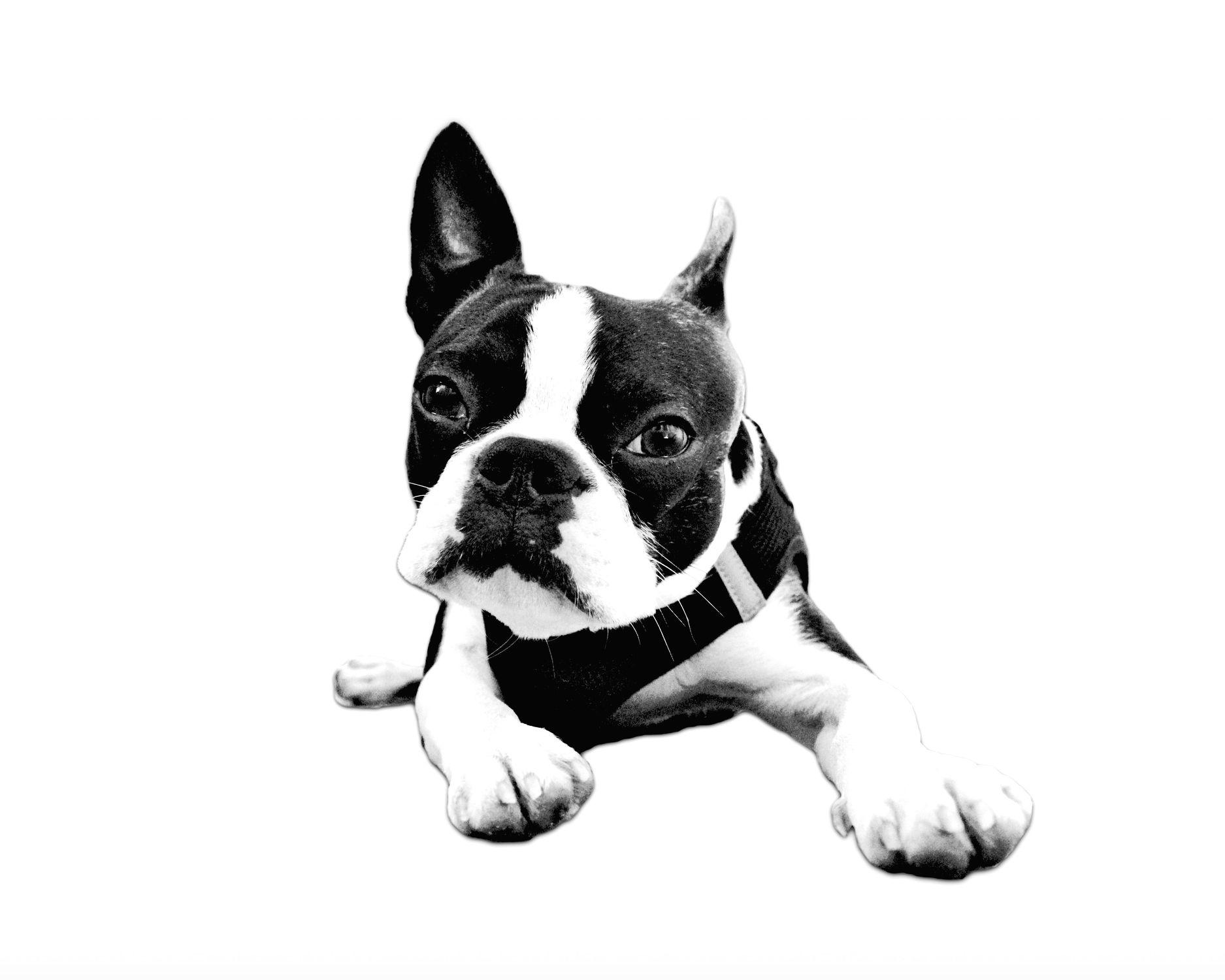 Bild mit Tiere, Hunde, Tier, Hund, Dog, Lebewesen, Boston Terrier, FCI anerkannte Hunderasse aus den USA, Bosti, Boston Terriers, Rassehunden, Hunderasse Boston, Kleine doggenartige Hunde, Familienhund, Hundebild, Haushund, schwarz weiß