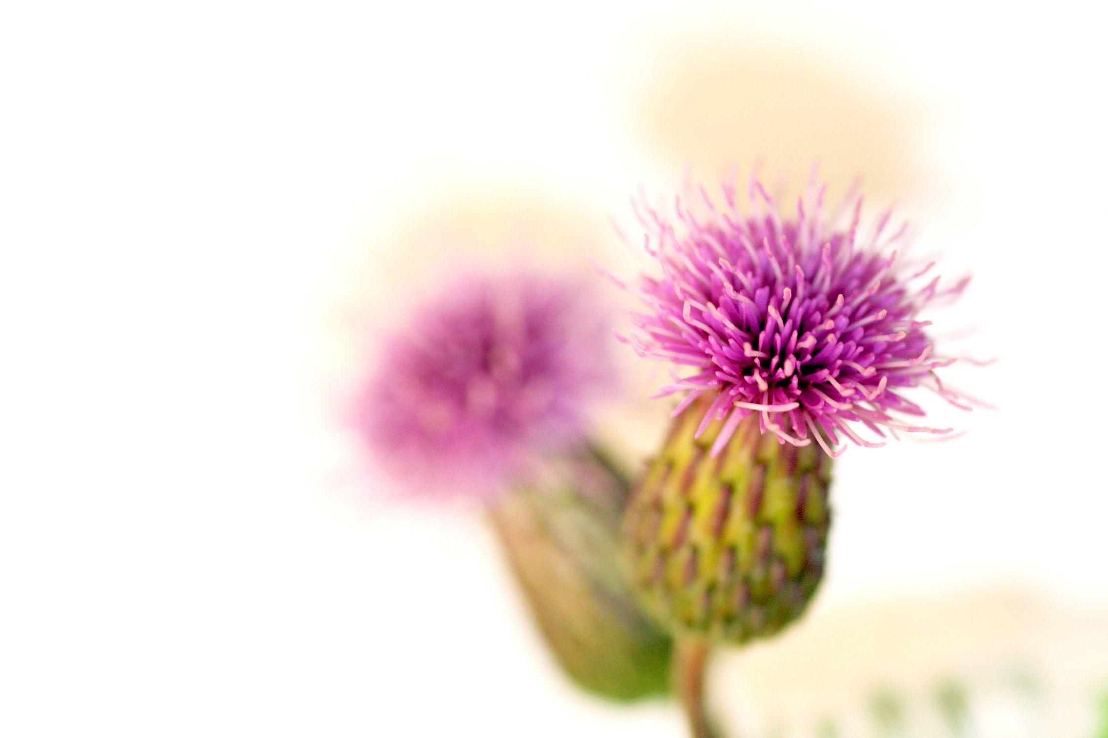 Bild mit Farben, Natur, Pflanzen, Blumen, Rosa, Lila, Korbblütler, Disteln