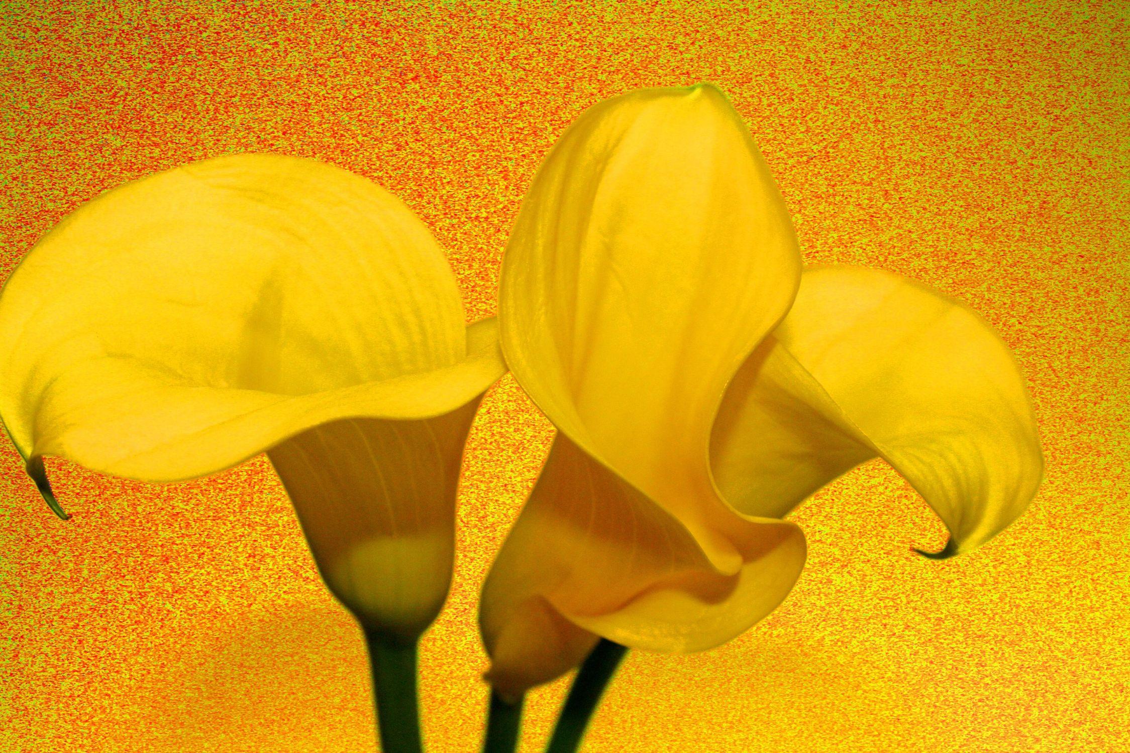 Bild mit Farben, Gelb, Natur, Grün, Pflanzen, Blumen, Blume, calla lily, Calla, Calla, Calla, Zantedeschien, Callas, Callas, Kalla, kalós, καλός, Zantedeschia, Calla lillies, gelbe Calla, Pflanze, gelber Hintergrund, Lilien