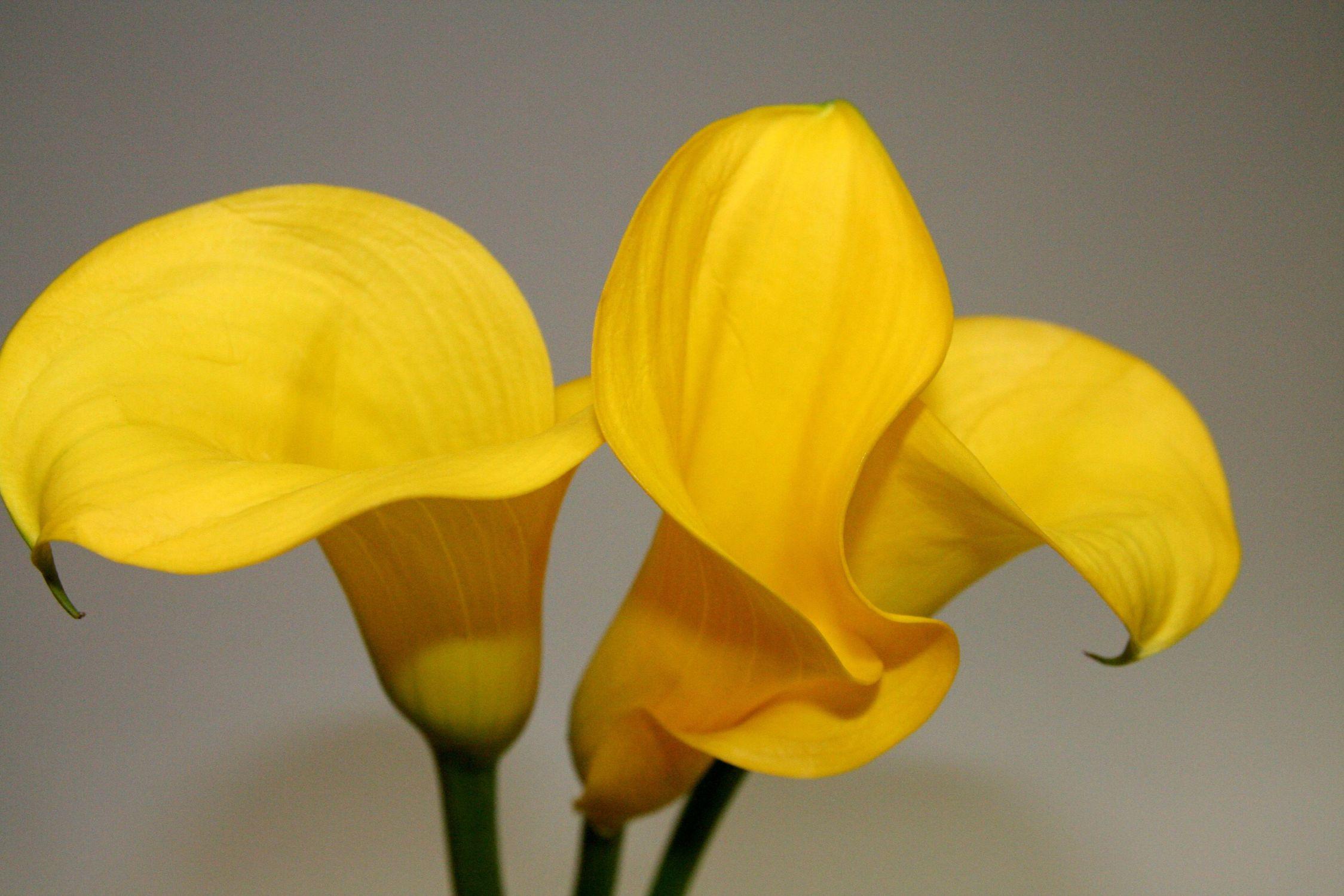 Bild mit Natur, Grün, Pflanzen, Blumen, Blume, Callas, Kalla, gelbe Calla, grauer Hintergrund