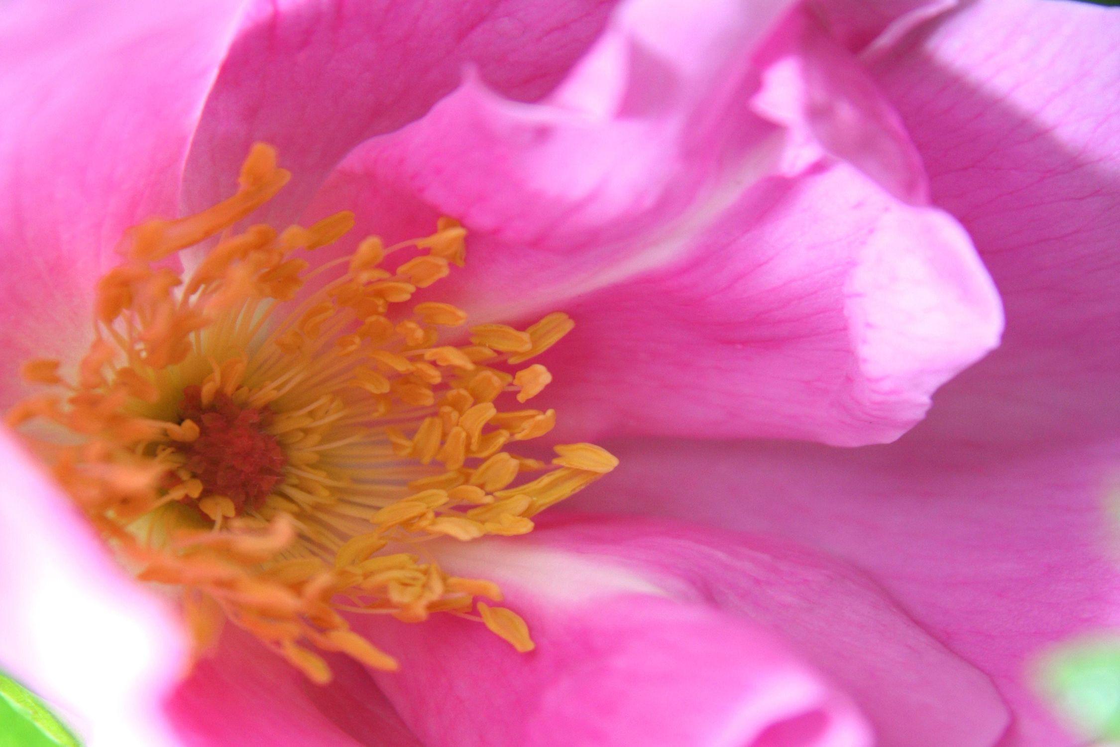 Bild mit Farben, Natur, Pflanzen, Blumen, Rosa, Rosen, Kamelien, Blume, Pflanze, kamelie