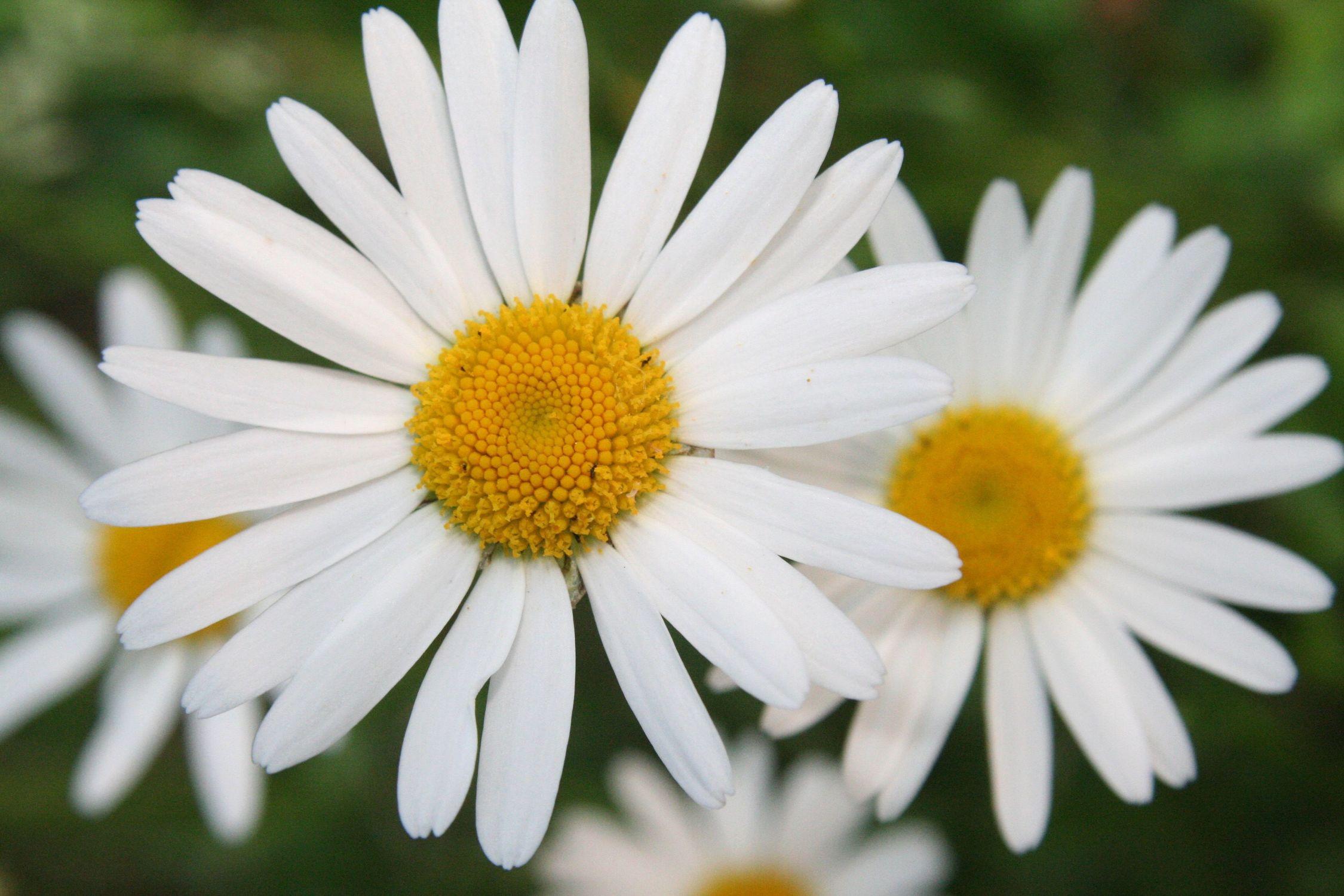Bild mit Natur, Pflanzen, Blumen, Weiß, Frühling, Blume, Margerite, Blüten, blüte, Mageriten
