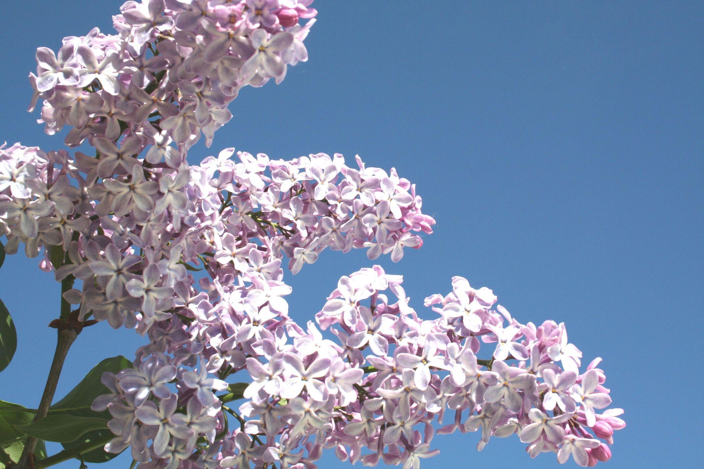 Bild mit Farben, Natur, Pflanzen, Bäume, Jahreszeiten, Blumen, Lila, Frühling, Blau, Pflanze, blüte, flieder