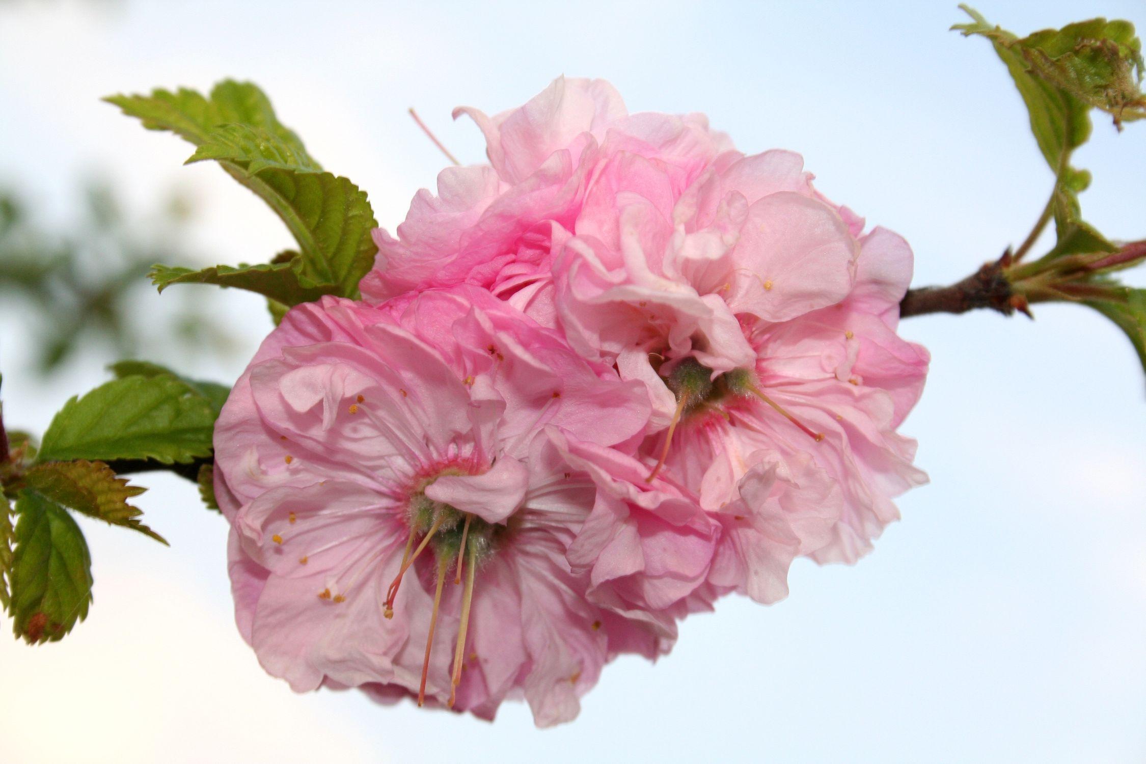 Bild mit Farben, Natur, Pflanzen, Bäume, Jahreszeiten, Blumen, Rosa, Frühling, Obstbäume, Kirschbäume, Baum, Pflanze, Mandelbaum, Mandelblüte