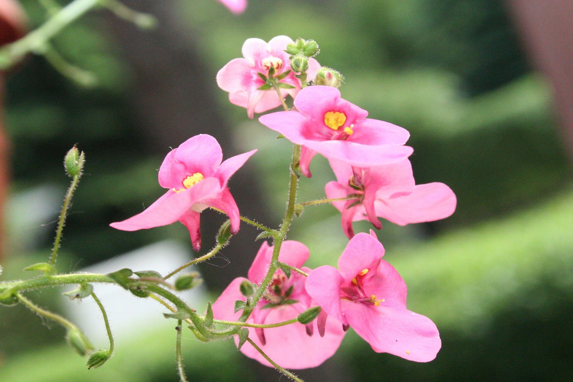 Bild mit Farben, Natur, Pflanzen, Blumen, Rosa, Blume, Pflanze