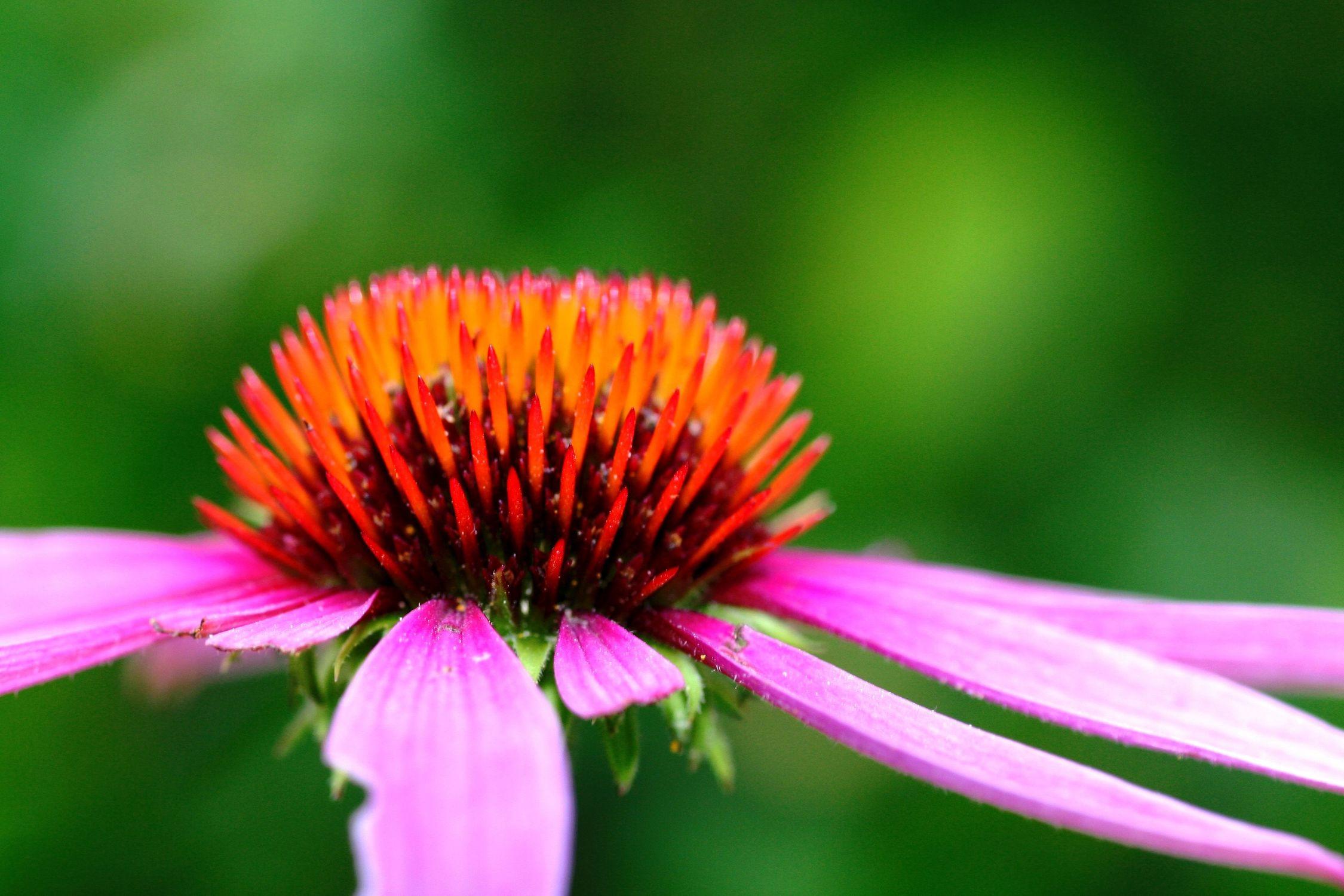 Bild mit Farben, Natur, Pflanzen, Blumen, Rosa, Korbblütler, Sonnenhüte, Blume, Pflanze, Flower
