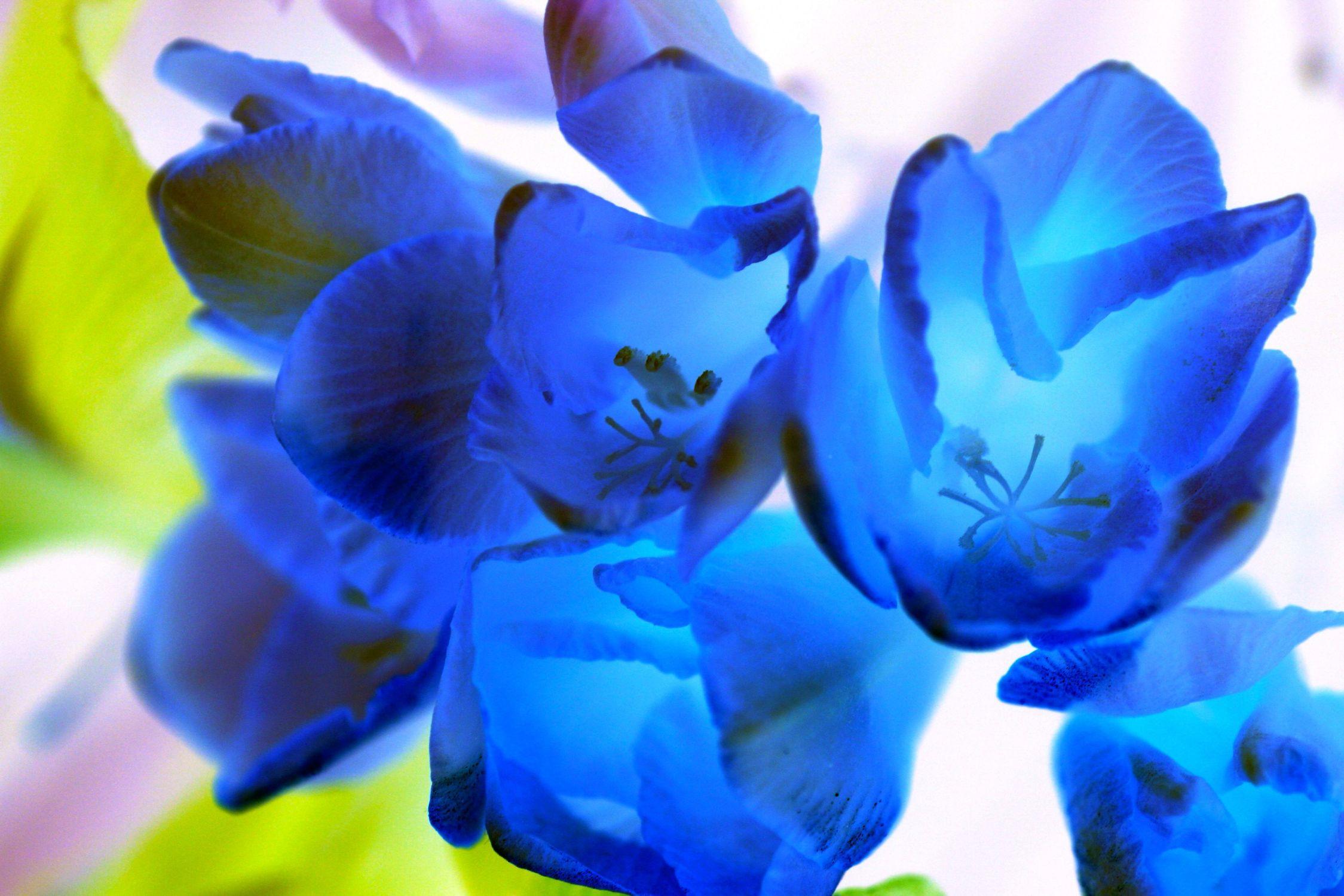 Bild mit Farben, Natur, Pflanzen, Pflanzen, Blumen, Blau, Blume, Pflanze, Tulpe, Tulips, Tulpen, Tulipa, Tulip