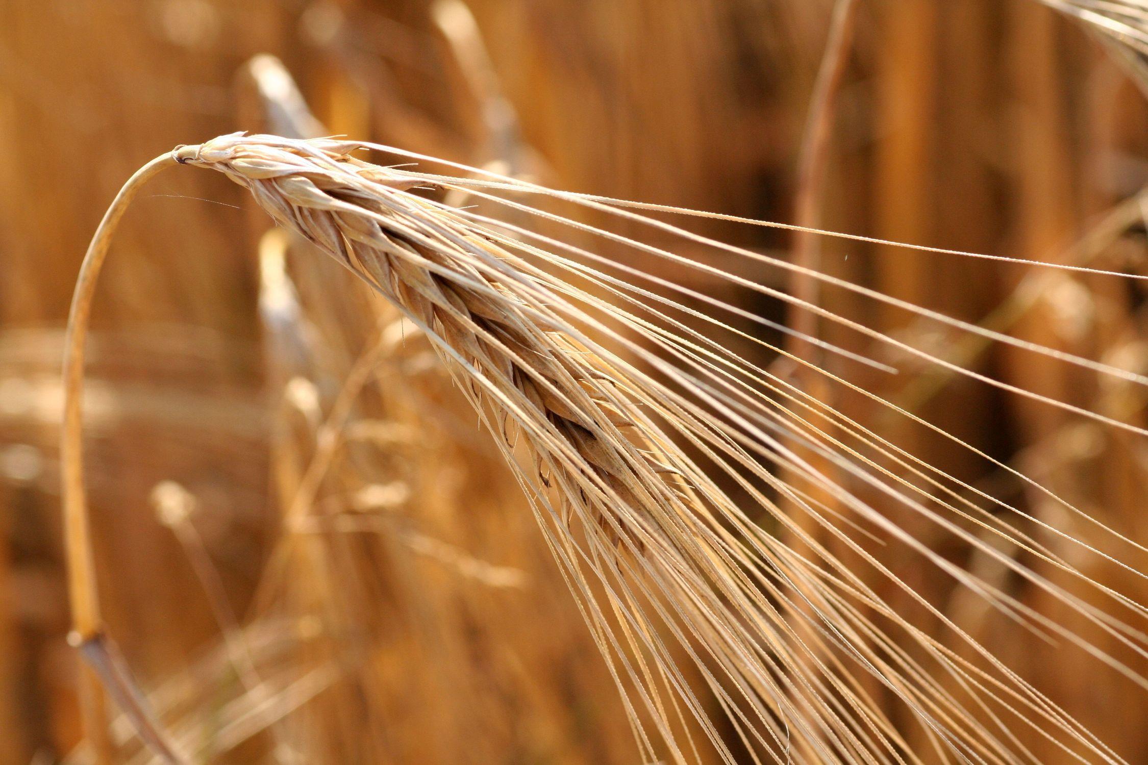 Bild mit Natur, Pflanzen, Gräser, Getreide, landwirtschaft, corn
