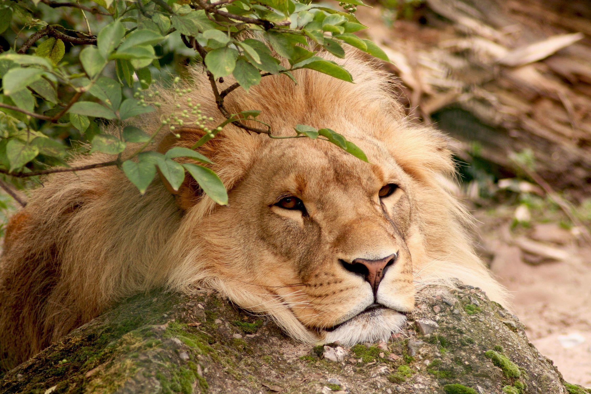 Bild mit Tiere, Säugetiere, Raubtiere, Katzenartige, Löwen, Tier, Löwe