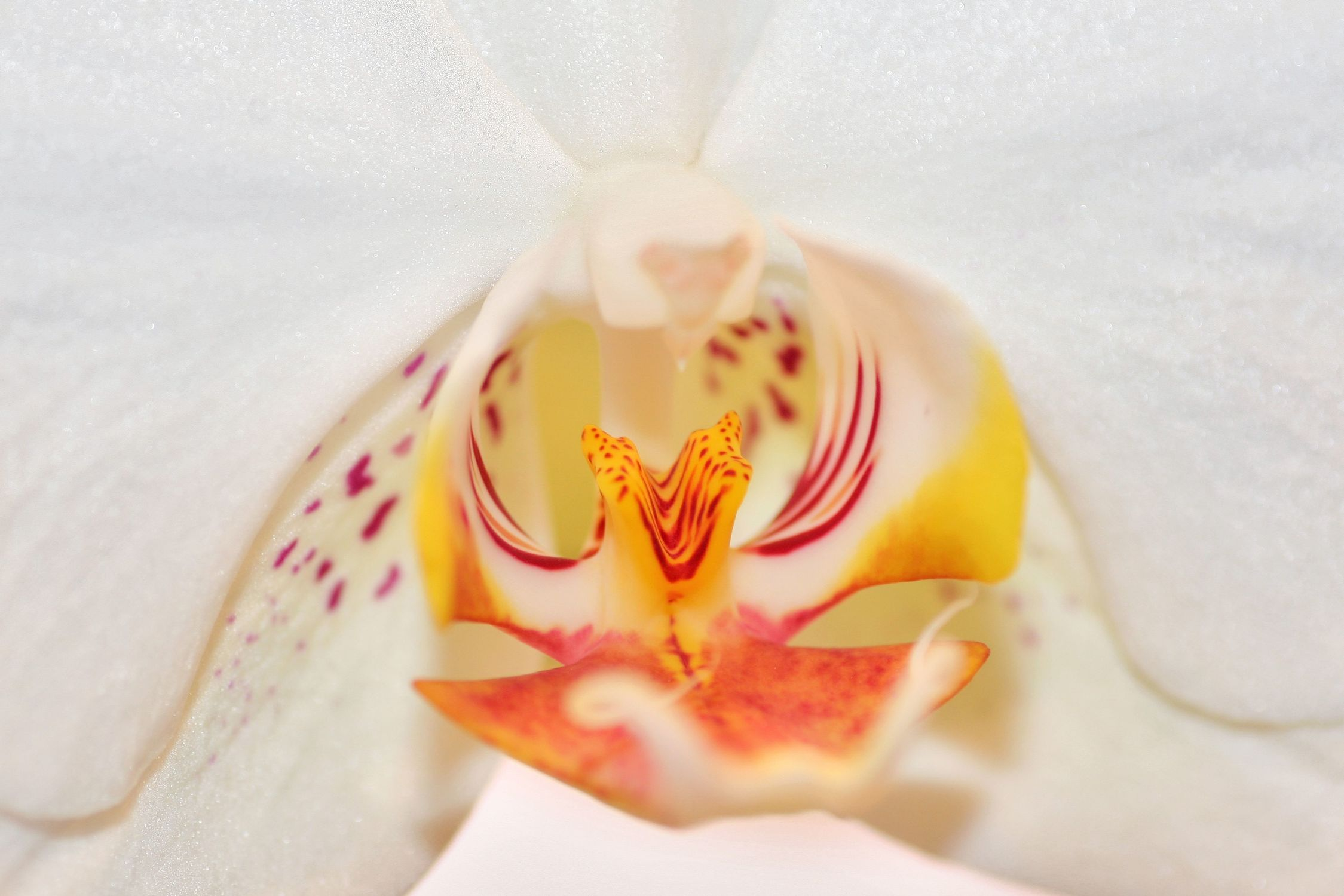 Bild mit Farben, Natur, Pflanzen, Blumen, Weiß, Rosa, Orchideen, Blume, Orchidee