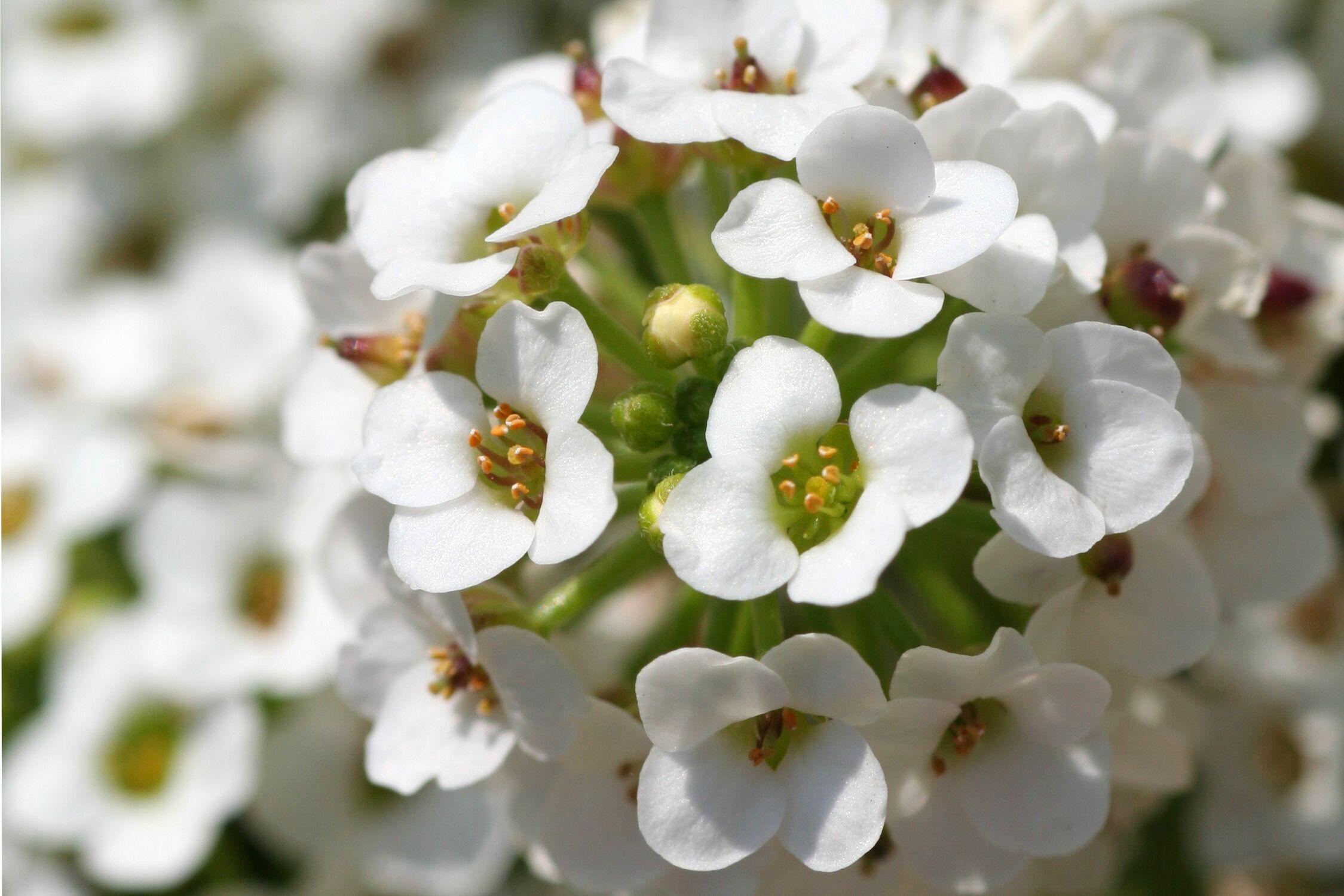 Bild mit Farben, Natur, Pflanzen, Jahreszeiten, Blumen, Weiß, Frühling