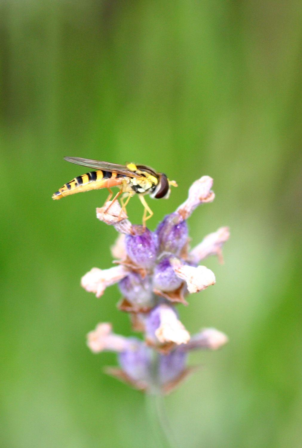 Bild mit Tiere, Natur, Pflanzen, Blumen, Insekten, Hautflügler, Bienen, Sträucher, Lavendel, Hornissen