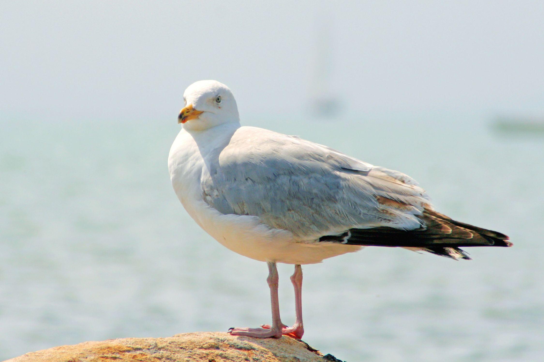 Bild mit Tiere, Natur, Vögel, Vögel, Wasservögel, Möwen, Federn, Tier, Möwe, Möwe am Strand, Möwen am Strand, Laridae, Möwenvögel, Möwenvögel, Watvögel