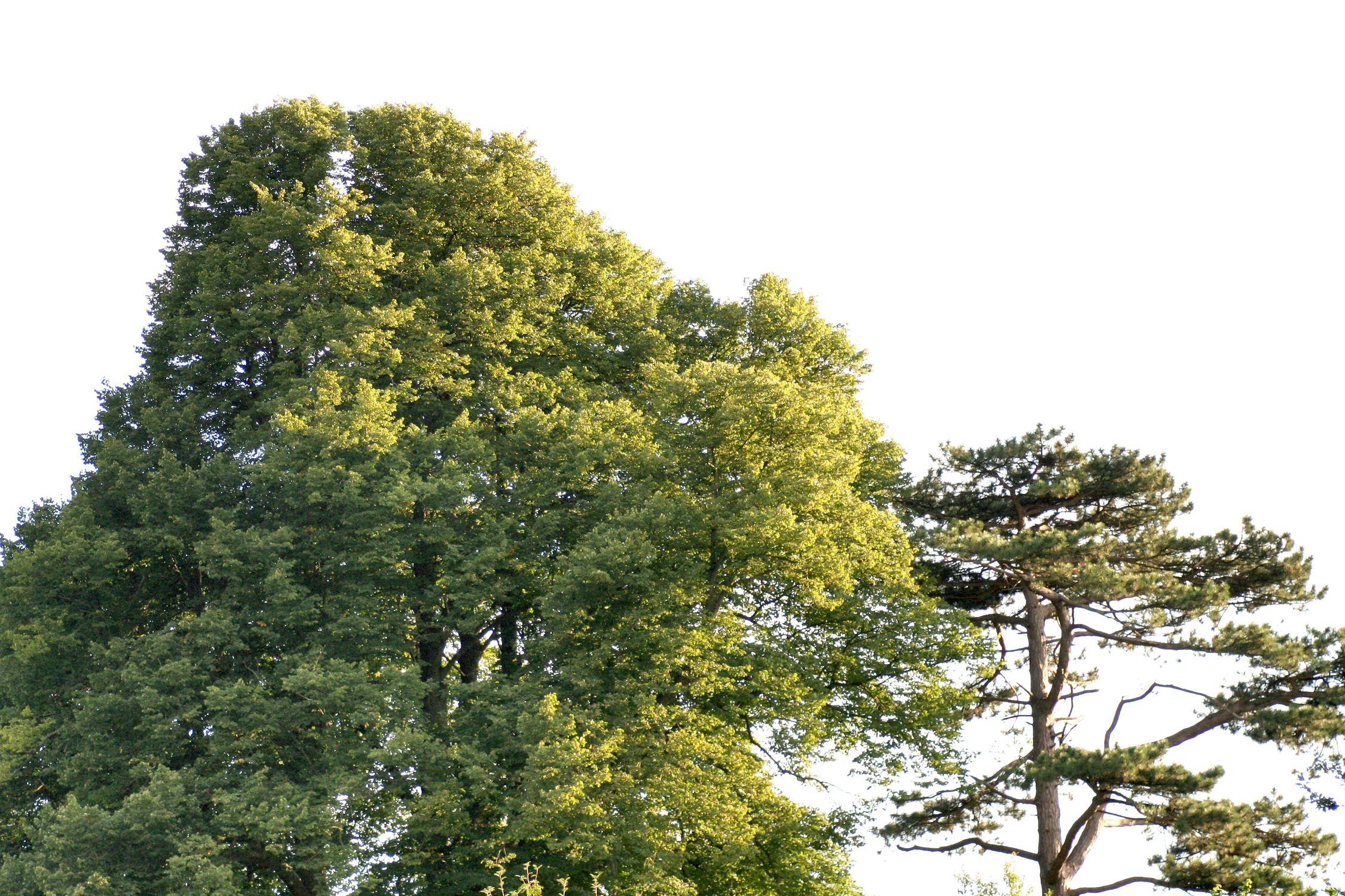Bild mit Natur, Pflanzen, Landschaften, Himmel, Bäume, Nadelbäume, Wälder, Kiefern, Baum, Nadelbaum, Kiefer