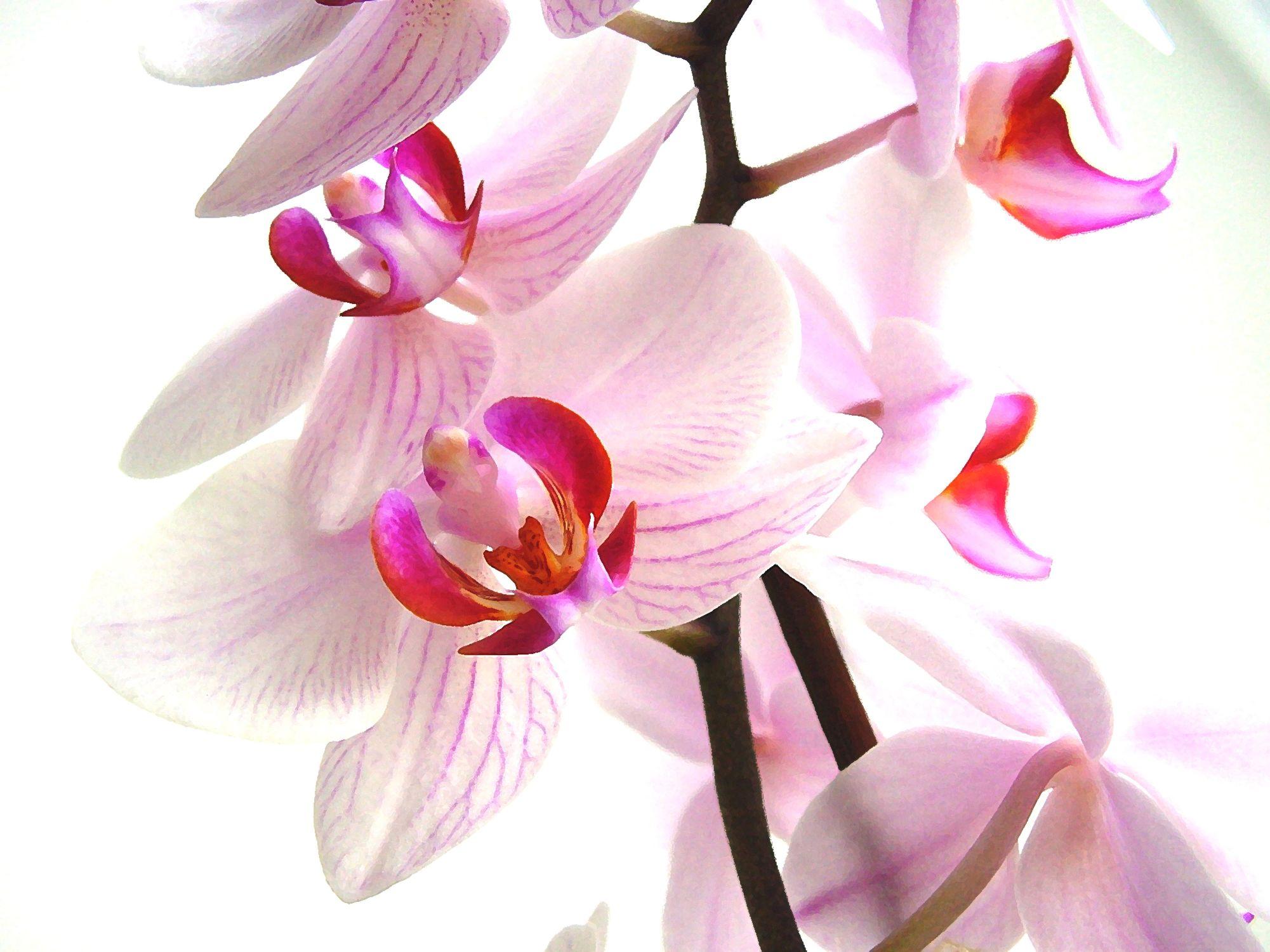 Bild mit Natur, Pflanzen, Jahreszeiten, Blumen, Weiß, Rosa, Rosa, Frühling, Magenta, Orchideen, Blume, Orchidee, Orchidee, Orchid, Orchids, Orchideengewächse, Pflanze, Orchidaceae, Grammatophyllum speciosum, Tiger