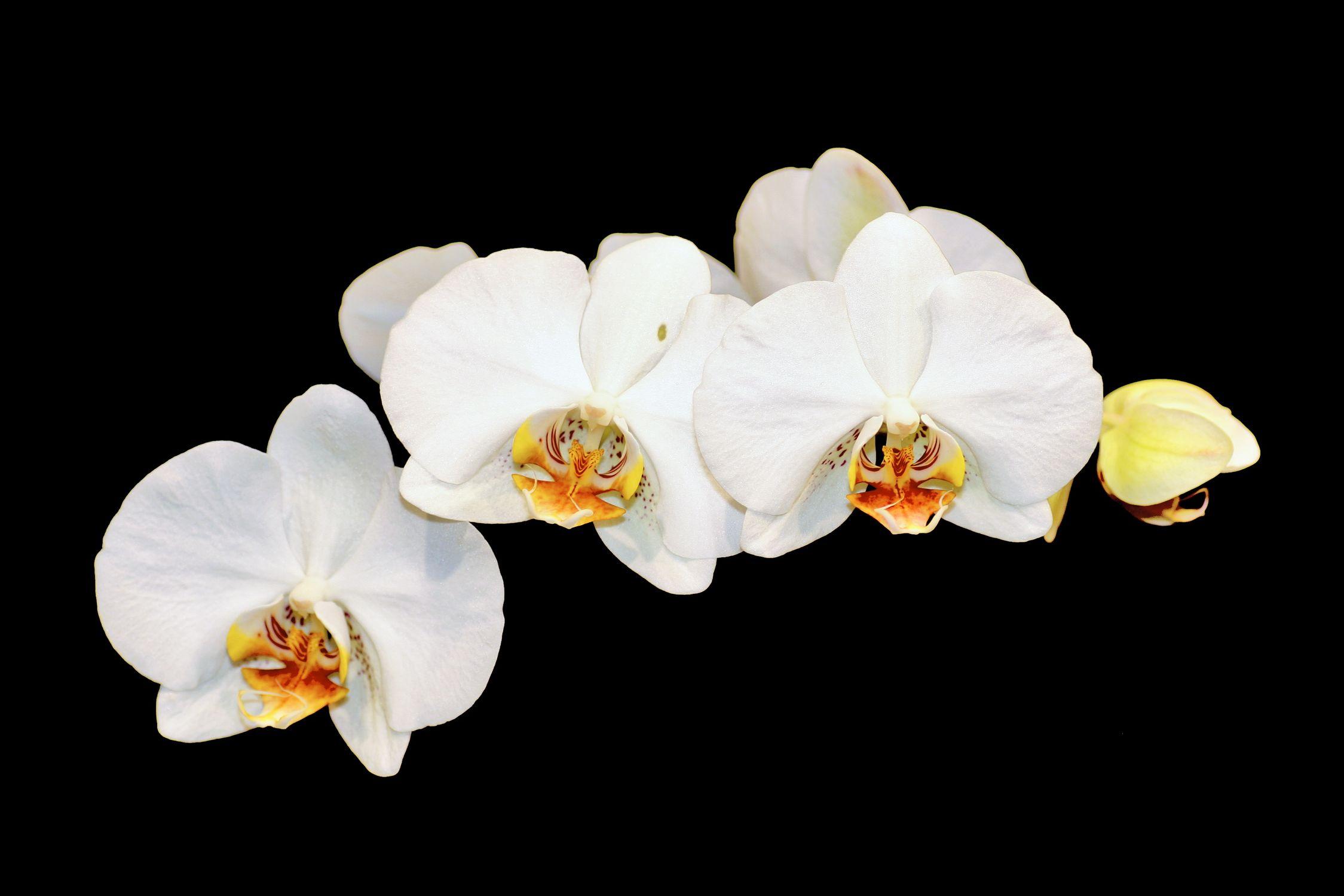 Bild mit Farben, Natur, Pflanzen, Blumen, Weiß, Orchideen, Blume, Orchidee, Orchidee, Orchid, Orchids, Orchideengewächse, Pflanze, Orchidaceae, Grammatophyllum speciosum, Orchideen vor schwarzen Hintergrund, Tiger