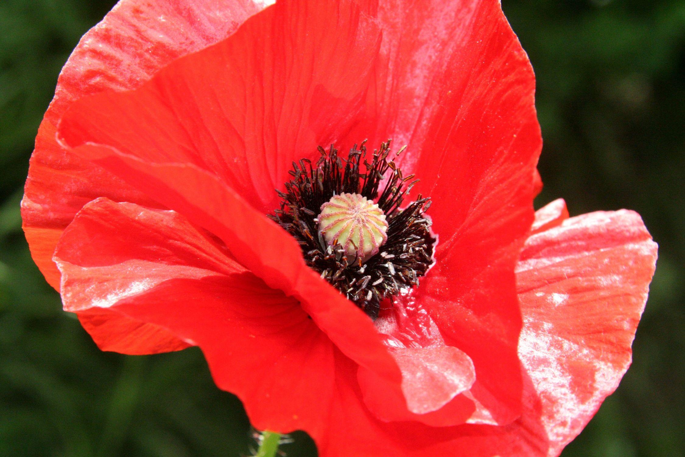 Bild mit Farben, Natur, Pflanzen, Blumen, Weiß, Rot, Mohn, Pflanze, Mohnblume, Mohneblumen, Poppy, Poppies, Mohnpflanze, Klatschmohn, Klatschrose, Papaver, Mohngewächse, Papaveraceae, Mohnblüte
