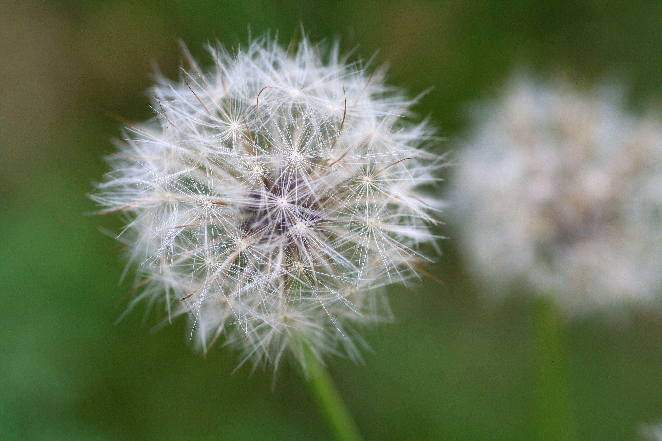 Bild mit Natur, Pflanzen, Gräser, Blumen, Korbblütler, Löwenzähne, Pusteblume, Blumenbild