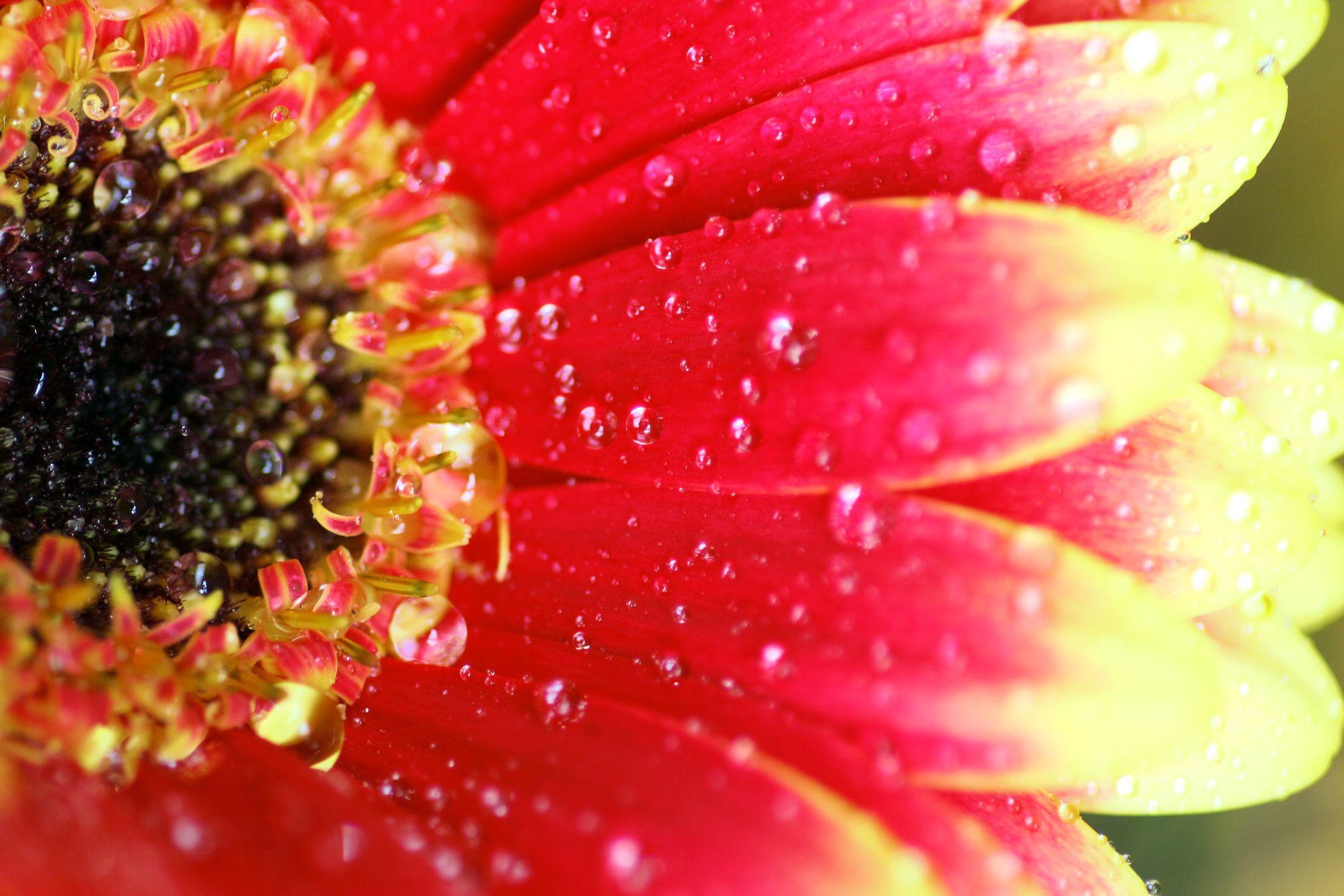 Bild mit Farben, Gelb, Natur, Elemente, Wasser, Pflanzen, Blumen, Rosa, Korbblütler, Gerberas, Rot