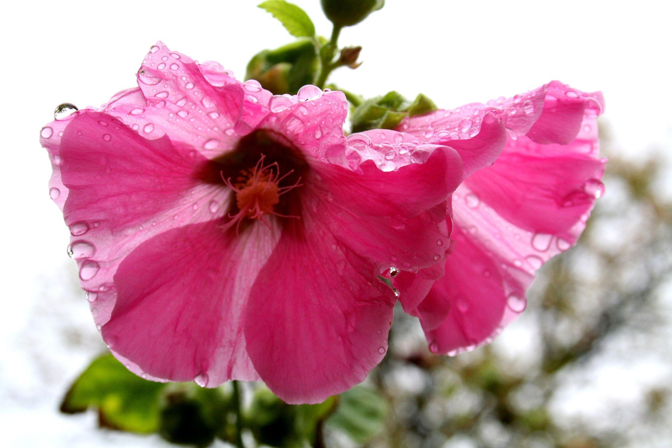 Bild mit Farben, Natur, Pflanzen, Blumen, Rosa, Magenta