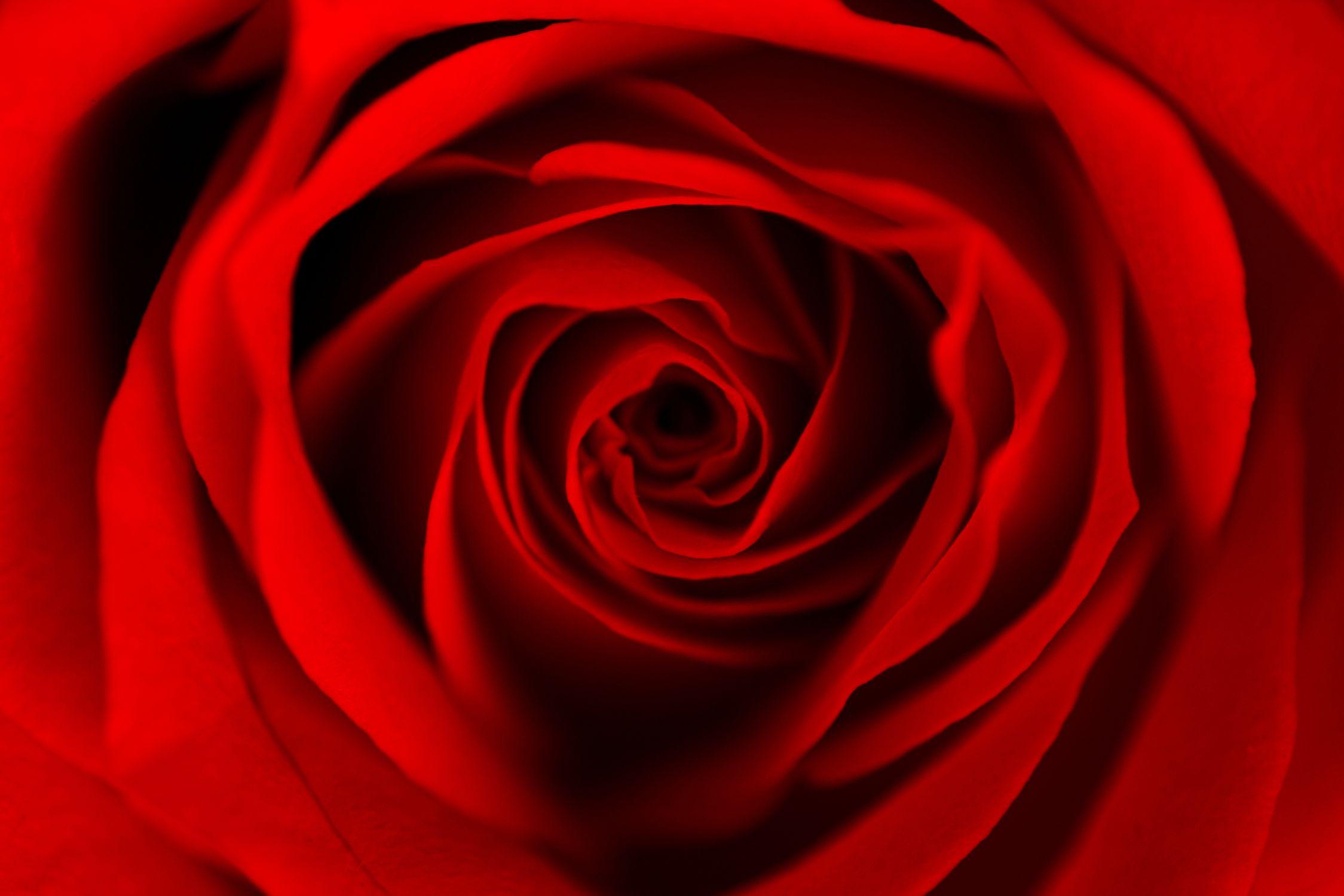 Bild mit Natur, Pflanzen, Blumen, Blumen, Rosen, Blume, Pflanze, Rose, Roses, Makro Rose, rote Rose, Rosenblüte, Flower, Flowers, Blumen im Makro