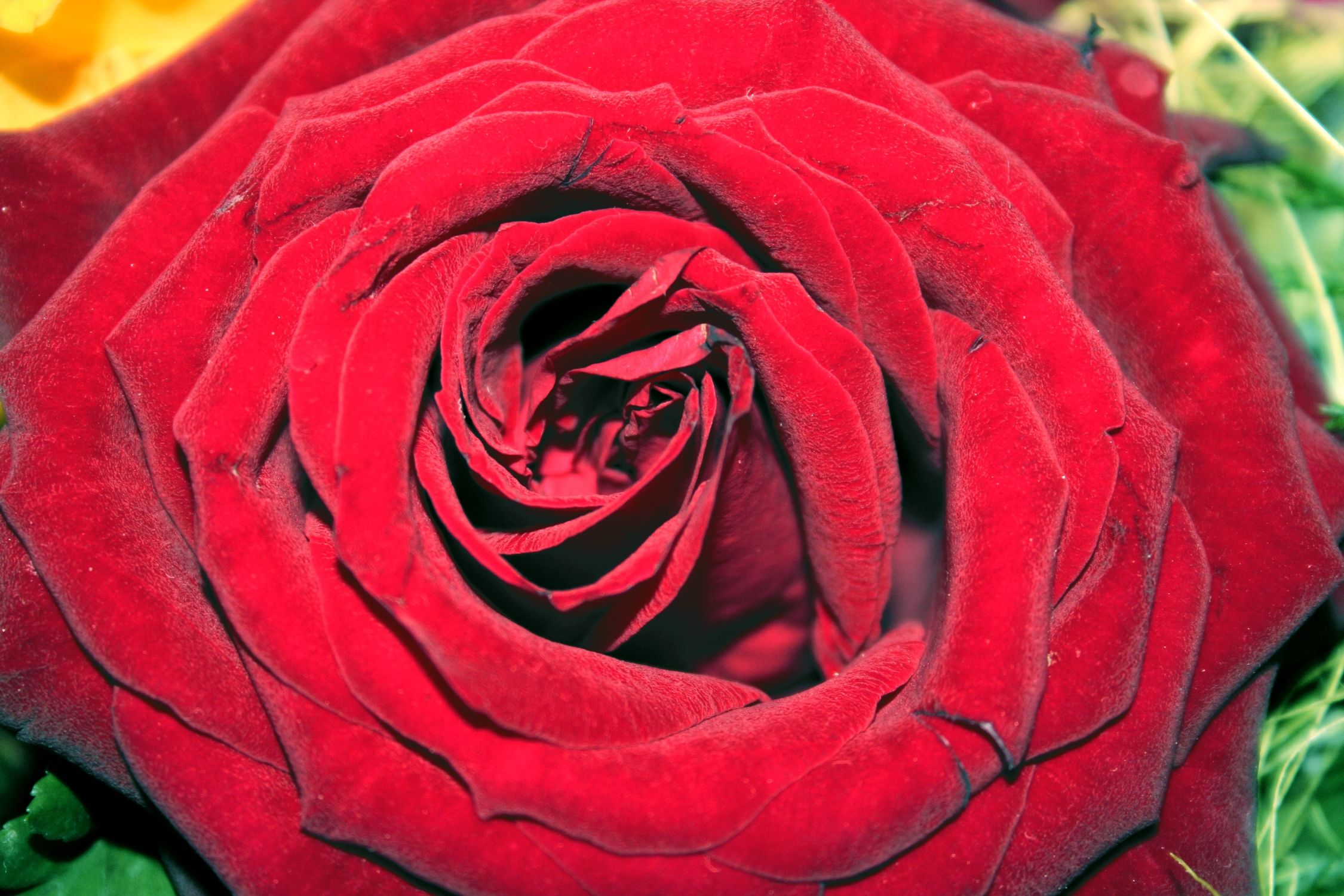 Bild mit Farben, Natur, Pflanzen, Blumen, Blumen, Rosa, Rot, Rot, Rosen, Blume, Pflanze, Rose, Roses, rote Rose, Rosenblüte, Flower, Flowers, osaceae, red