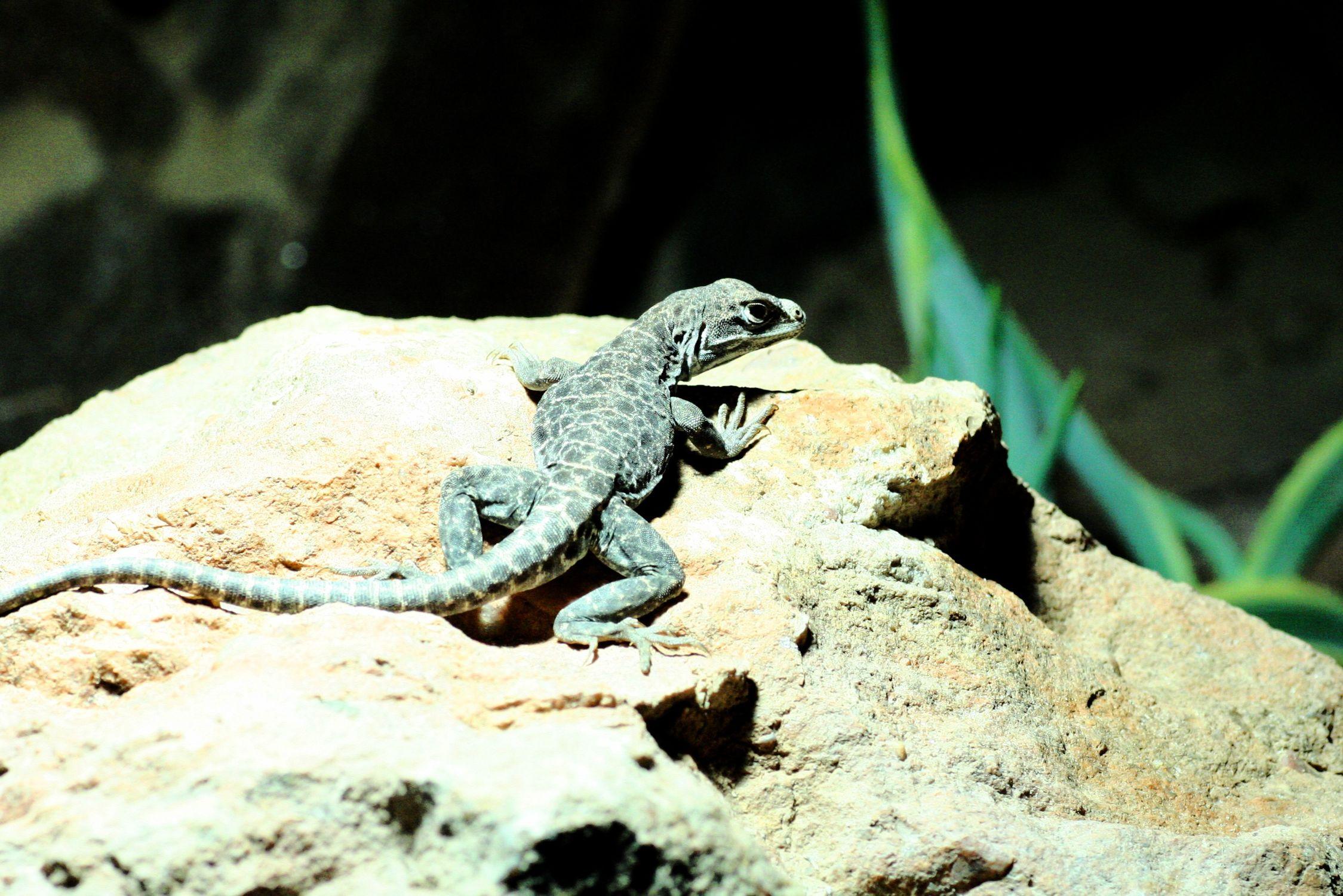 Bild mit Tiere, Amphibien, Zoos, Reptilien, Eidechsen, Leguane, Tier, Reptil