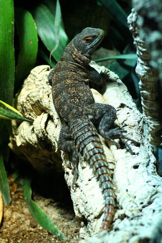 Bild mit Tiere, Reptilien, Eidechsen, Leguane