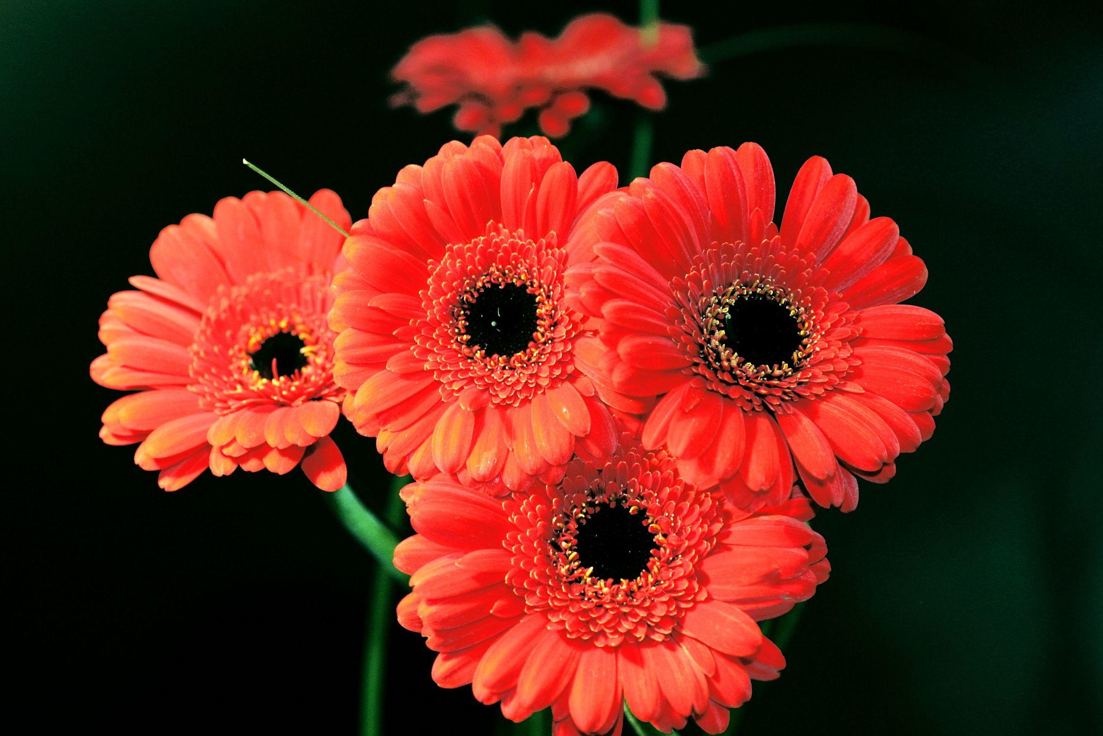 Bild mit Natur, Pflanzen, Blumen, Korbblütler, Gerberas, Blume, Pflanze, Flower, Flowers, Blumenstrauß, Gerbera, Schnittblume, rote Gerbera, rote Gerberas