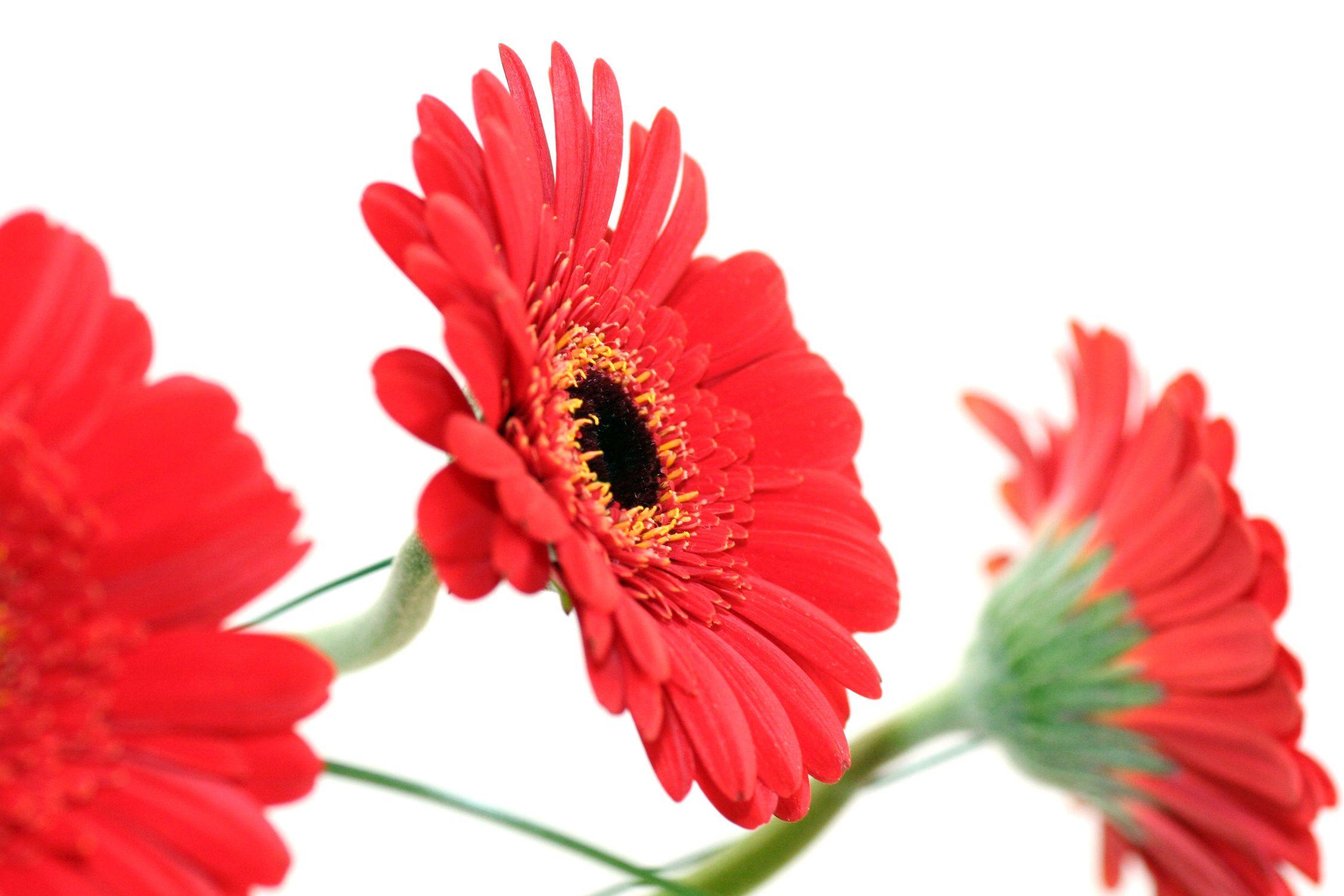 Bild mit Natur, Pflanzen, Blumen, Korbblütler, Gerberas, Rot, Blume, Pflanze, Flower, Flowers, Gerbera, Schnittblume, rote Gerbera, rote Gerberas