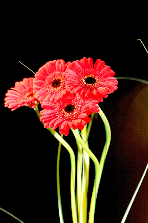 Bild mit Farben, Gegenstände, Natur, Pflanzen, Blumen, Korbblütler, Gerberas, Rot, Blume, Pflanze, Flower, Flowers, Gerbera, Schnittblume, rote Gerbera, rote Gerberas, Blumenstraß