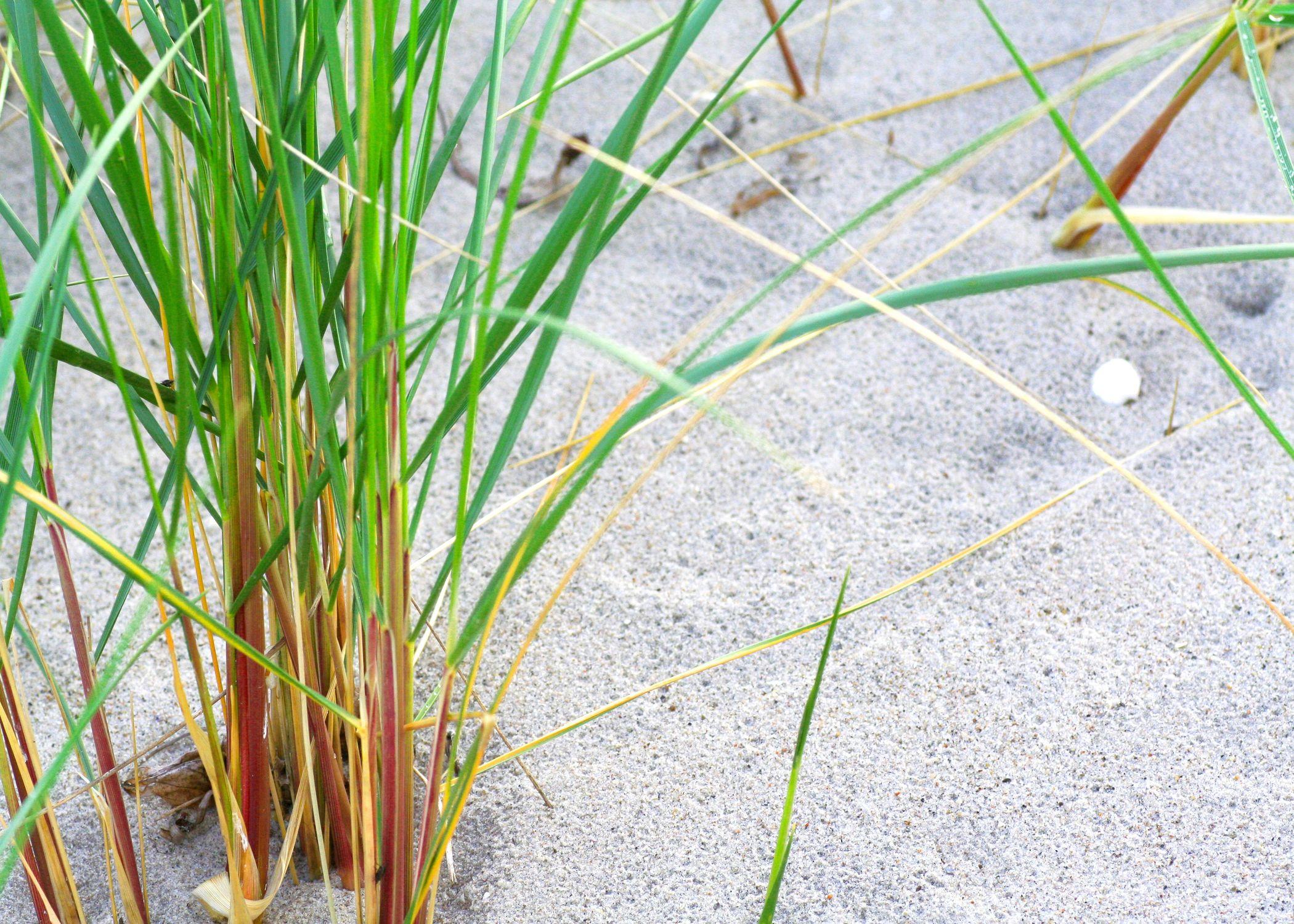Bild mit Natur, Pflanzen, Gräser, Sand, Schilf, Schilfgras