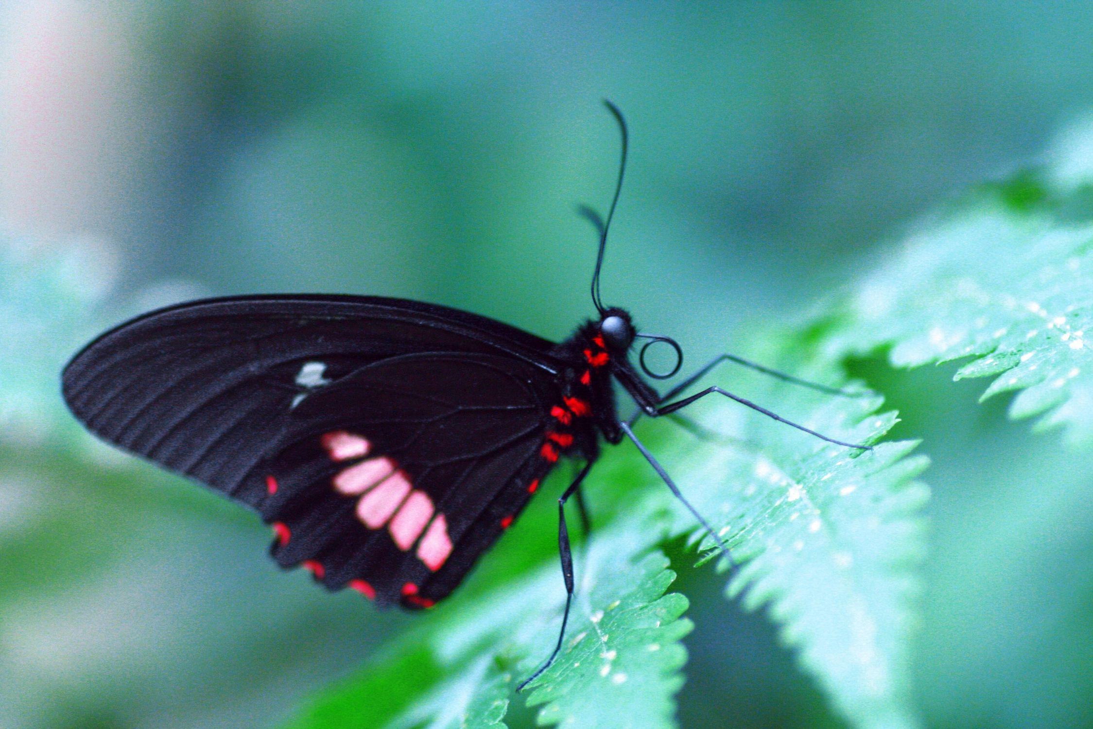 Bild mit Tiere, Natur, Insekten, Flügel, Schmetterlinge, Schmetterling, Insekt