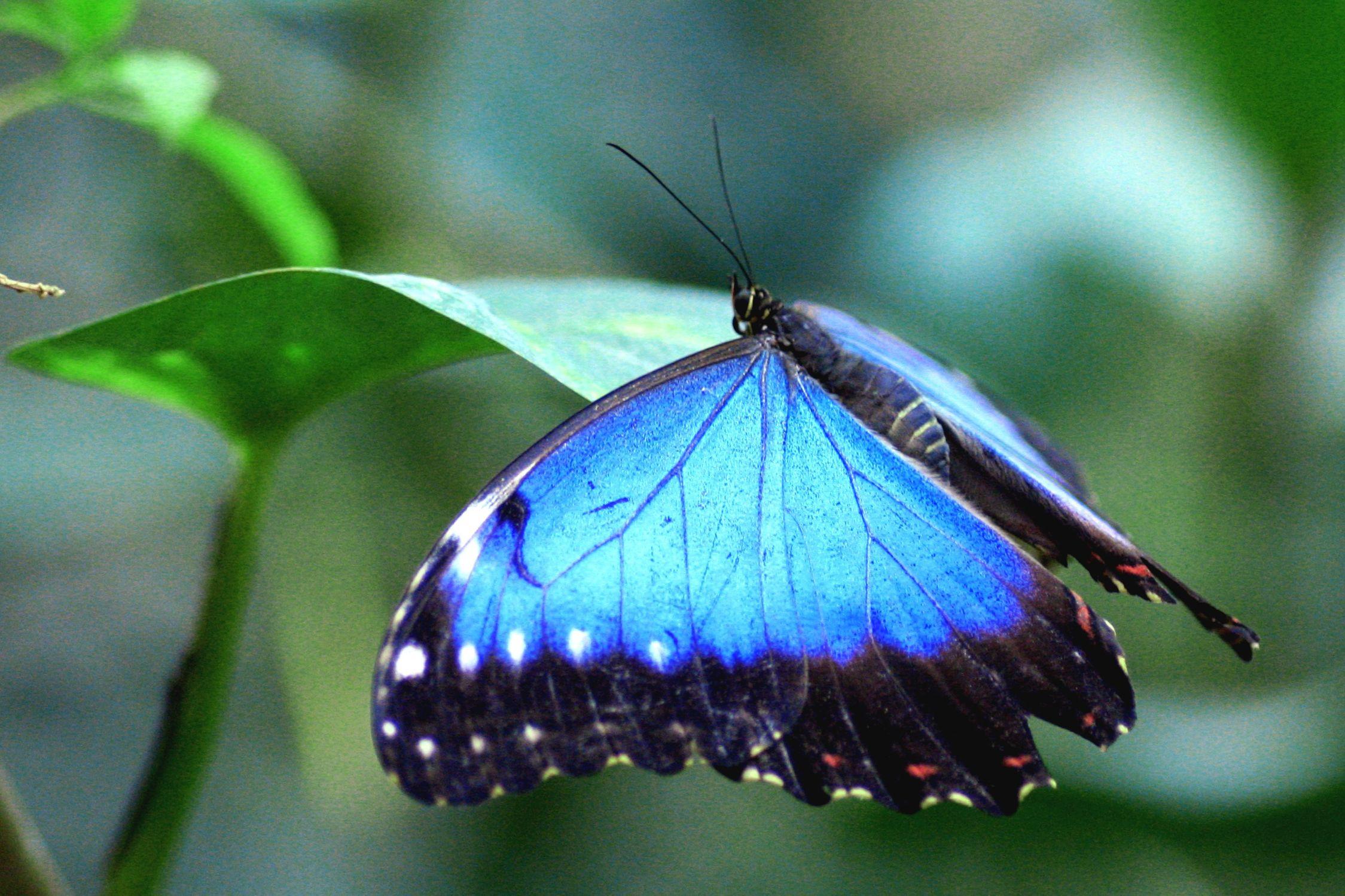 Bild mit Tiere, Natur, Insekten, Insekten, Blau, Azurblau, Schmetterlinge, Tier, Schmetterling, butterfly, Insekt