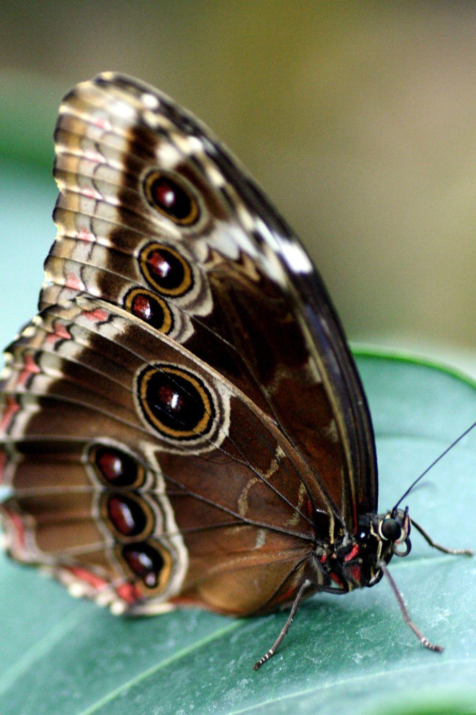Bild mit Tiere, Insekten, Schmetterlinge, Schmetterling, butterfly, Falter