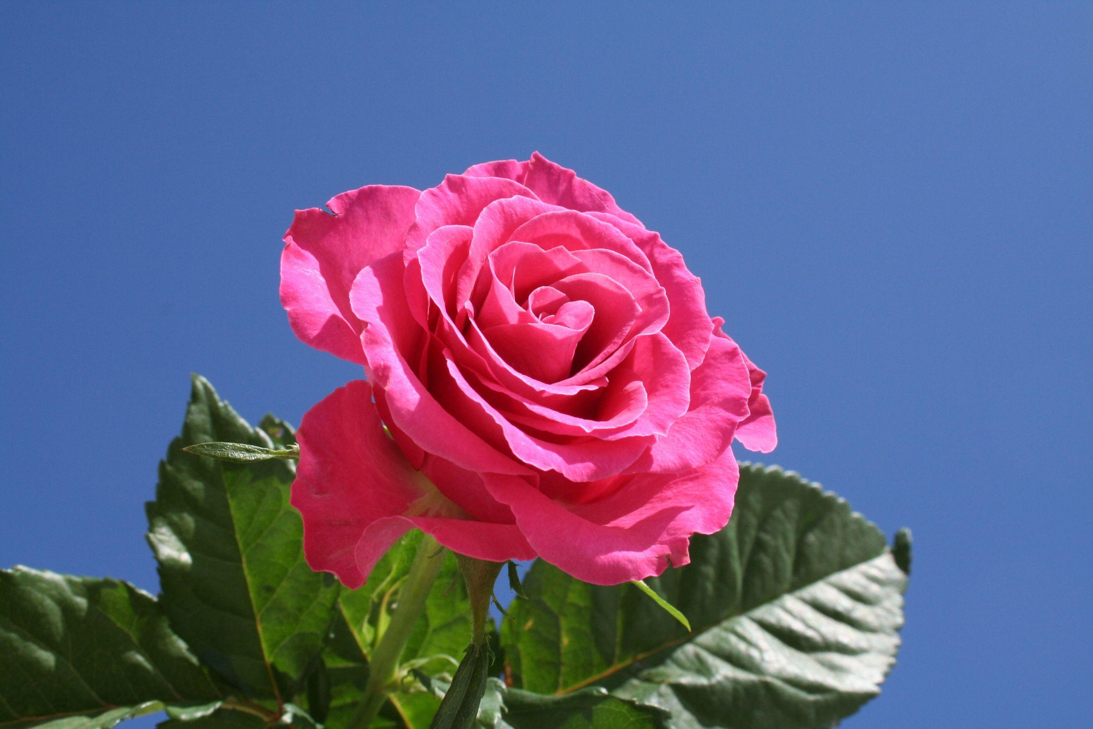 Bild mit Farben, Natur, Pflanzen, Himmel, Blumen, Blumen, Rosa, Rot, Rosen, Blau, Kamelien, Makrofotografie, Blume, Pflanze, Rose, Roses, Makro Rose, rote Rose, Rosenblüte, Flower, Flowers, rote Rosen, red Rose, red