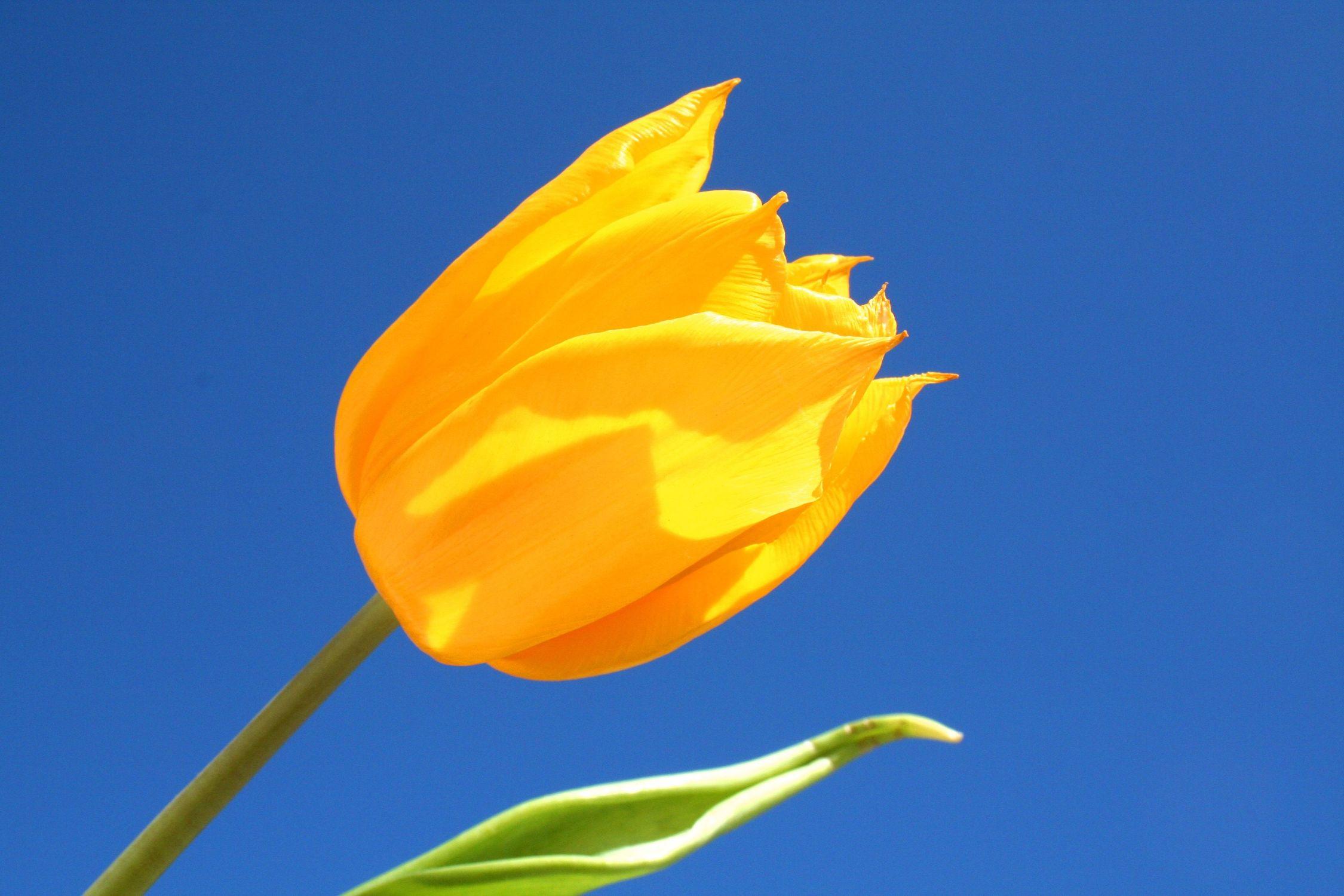 Bild mit Farben, Gelb, Gelb, Natur, Pflanzen, Himmel, Blumen, Blumen, Blume, Pflanze, Tulpe, Tulips, Tulpen, gelbe Tulpe, Tulipa, Flower, Flowers, Tulip, gelbe Tulpen, yellow tulip, yellow tulips, yellow