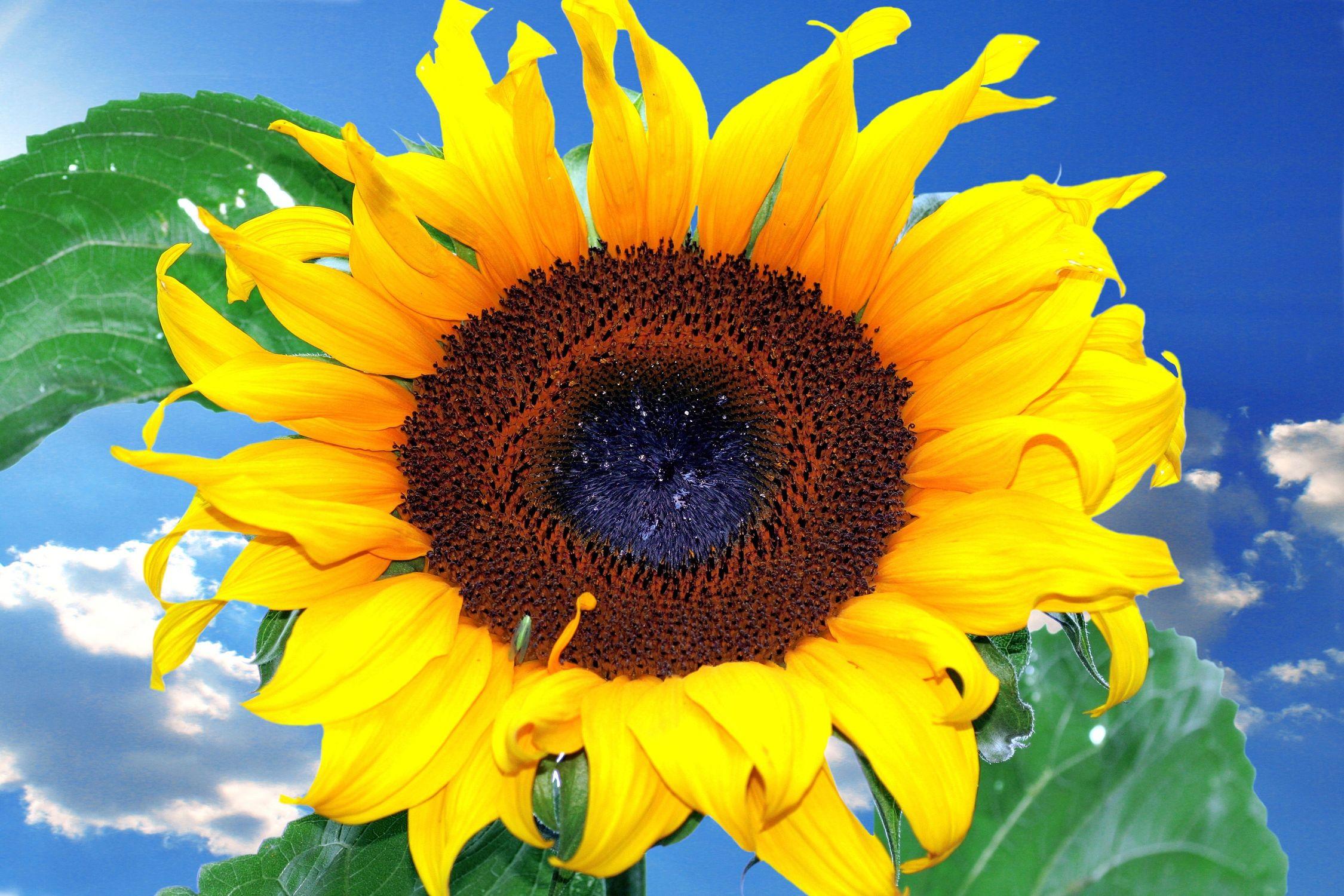 Bild mit Natur, Pflanzen, Himmel, Lebensmittel, Essen, Blumen, Korbblütler, Sonnenblumen, Blume, Flower, Flowers, Sonnenblume, Sunflower, Sunflowers, Helianthus annuus, Helianthus, Asteraceae