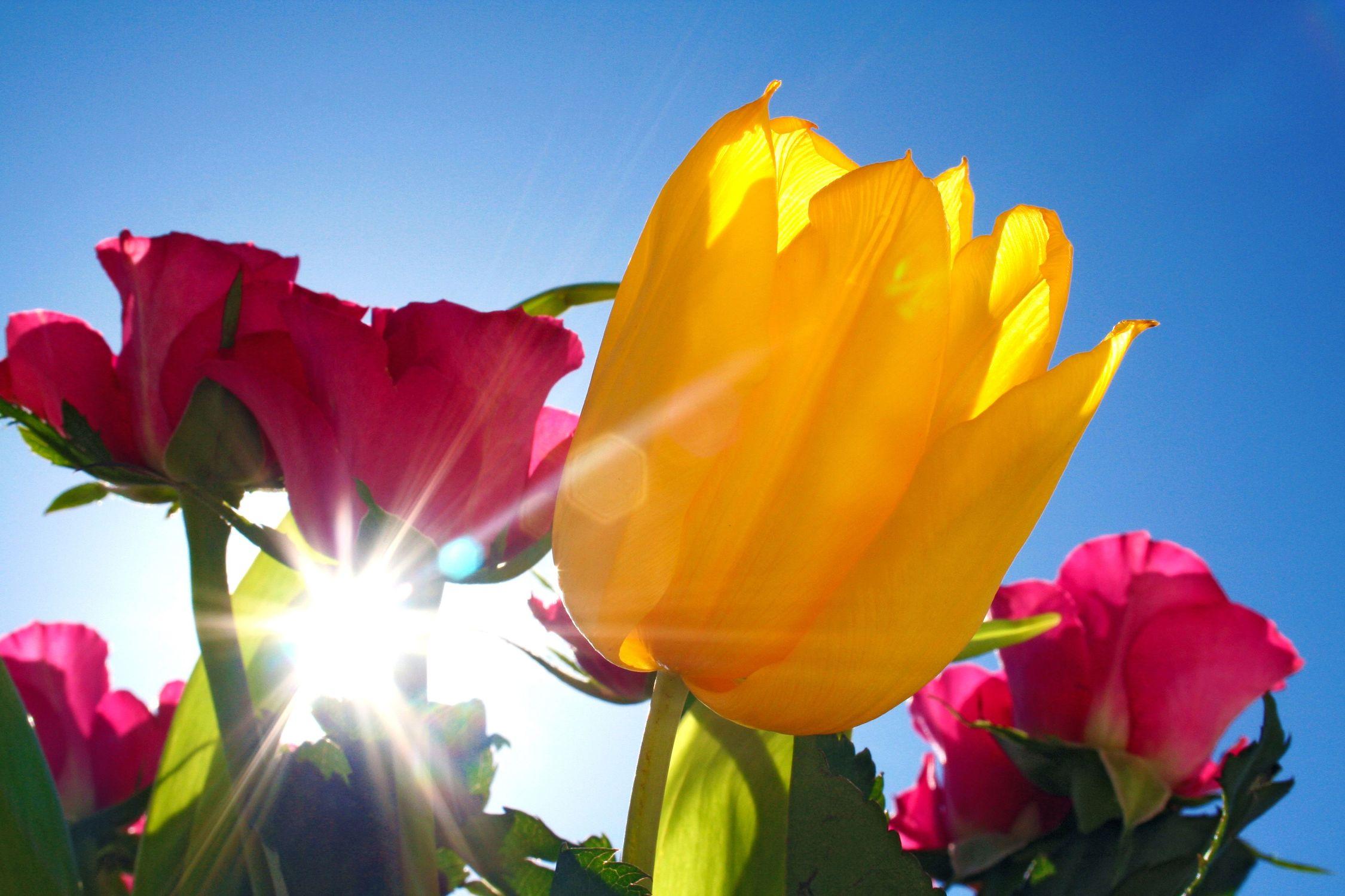 Bild mit Farben, Gelb, Natur, Pflanzen, Himmel, Jahreszeiten, Blumen, Blumen, Rosa, Frühling, Blume, Pflanze, Rose, Roses, rote Rose, Tulips, Tulpen, gelbe Tulpe, Tulipa, Gegenlicht, Flower, Flowers, Tulip, red Rose, osaceae, red, gelbe Tulpen, yellow tulip, yellow tulips, yellow, ulpe, Blumenstrauß