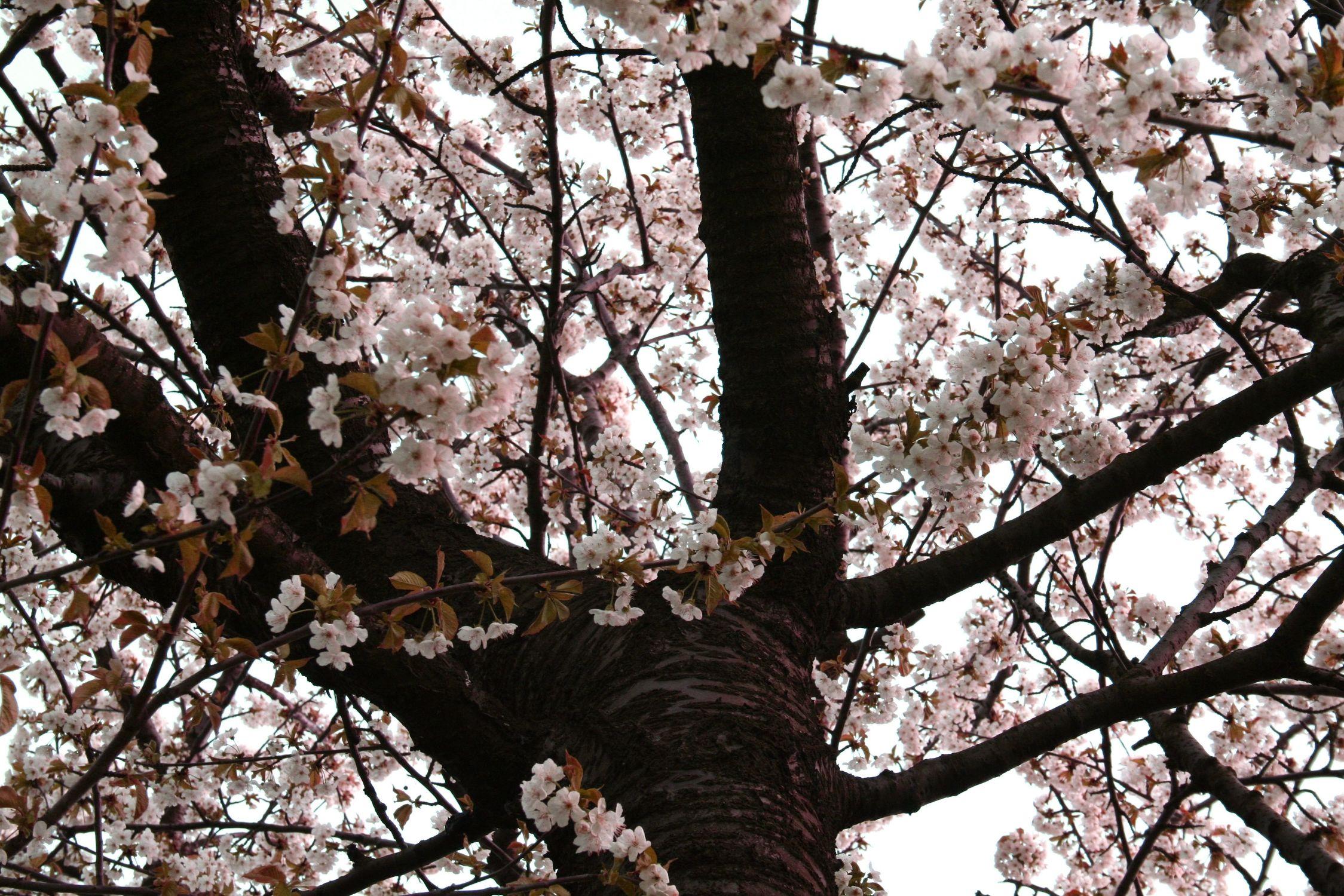 Bild mit Natur, Pflanzen, Bäume, Frühling, Kirschbäume, Baum, Kirchbaum, Kirchbäume, blühender Kirschbaum, Kirschblüten