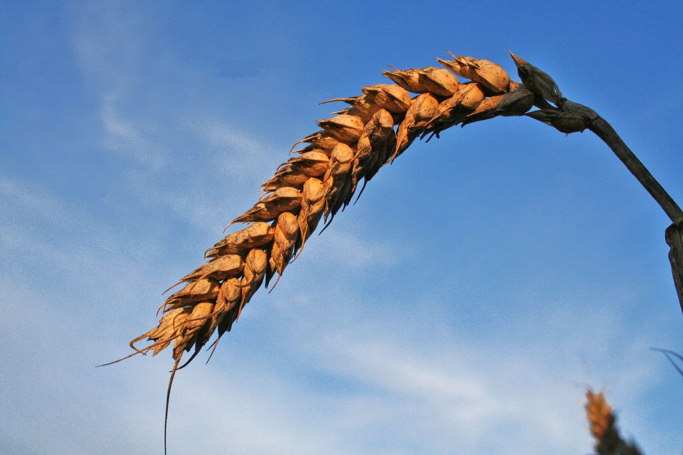 Bild mit Natur, Gräser, Getreide, landwirtschaft, Korn, Weizen, Anbau