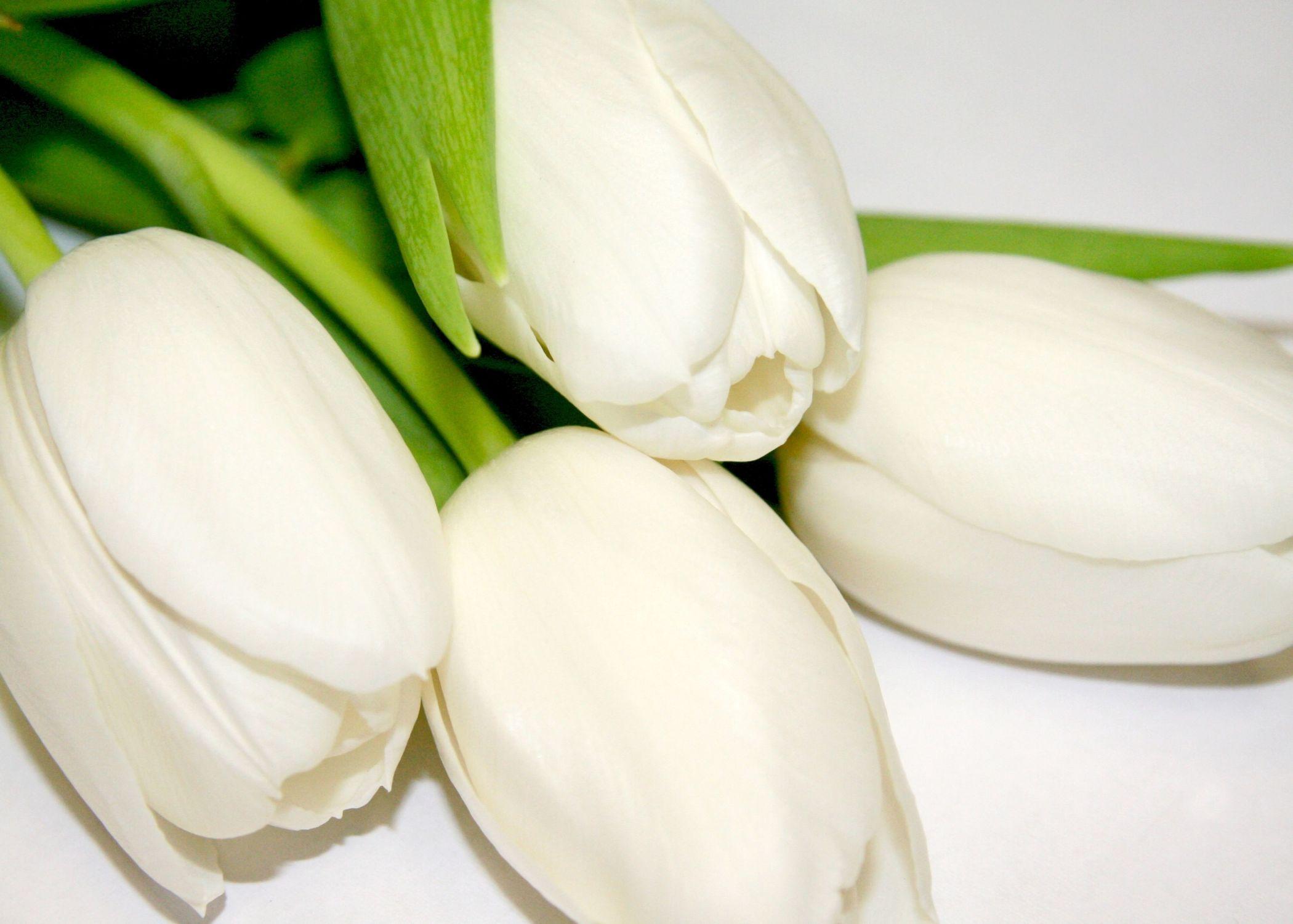 Bild mit Farben, Gegenstände, Natur, Pflanzen, Lebensmittel, Essen, Blumen, Blumen, Weiß, Weiß, Blume, Pflanze, Tulpe, Tulips, Tulpen, weiße Tulpen, Tulipa, Flower, Flowers, Tulip, weiße Tulpe, white tulip, white tulips