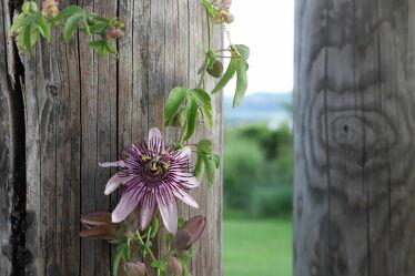 Bild mit Natur, Blumen, Frühling, Holz, Blau, Makro, Flower, Blüten, Passion