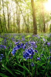 Bild mit Natur, Bäume, Blumen, Sonnenaufgang, Wald, Landschaft, Wiese, Morgens, Haselglöckchen