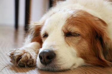 Bild mit Hund, Ruhe, süss, Schlaf, Zufrieden