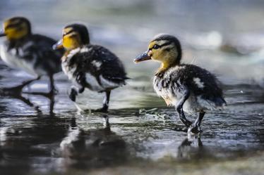 Bild mit Enten, Wasservögel, Enten und Vögel, Wildvogel