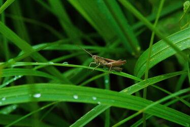 Bild mit Gräser, Gras, Regentropfen, Regen, Grashüpfer