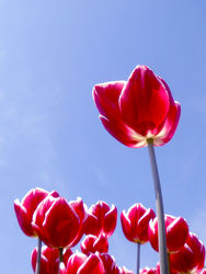 Pink Tulpen