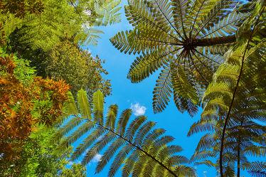 Baumfarne aus Neuseeland